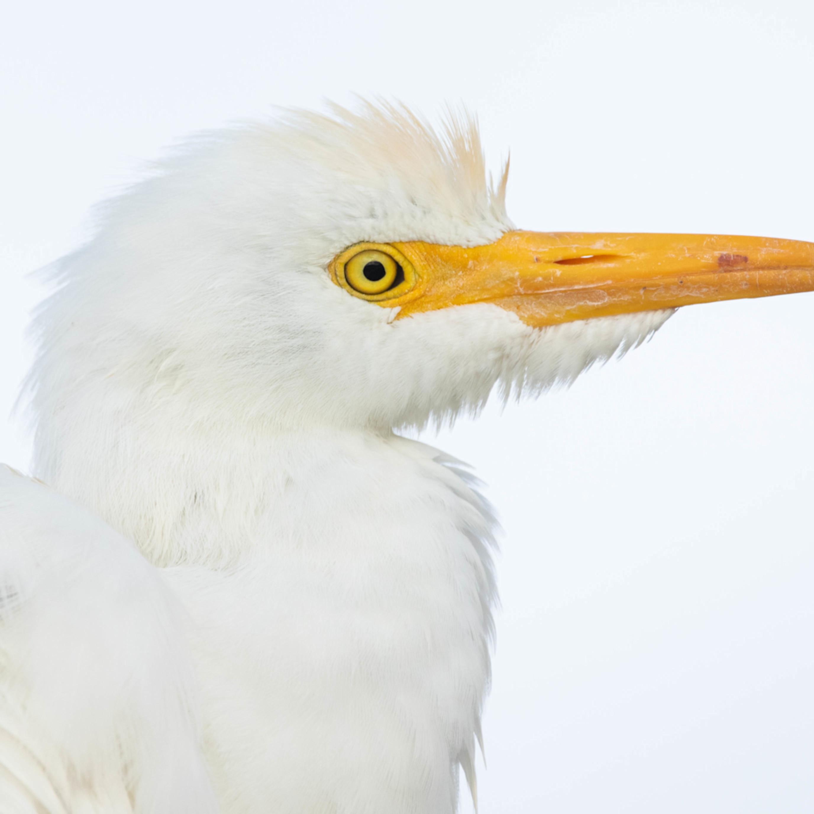 Merritt island cattle egret cuda inrr7u