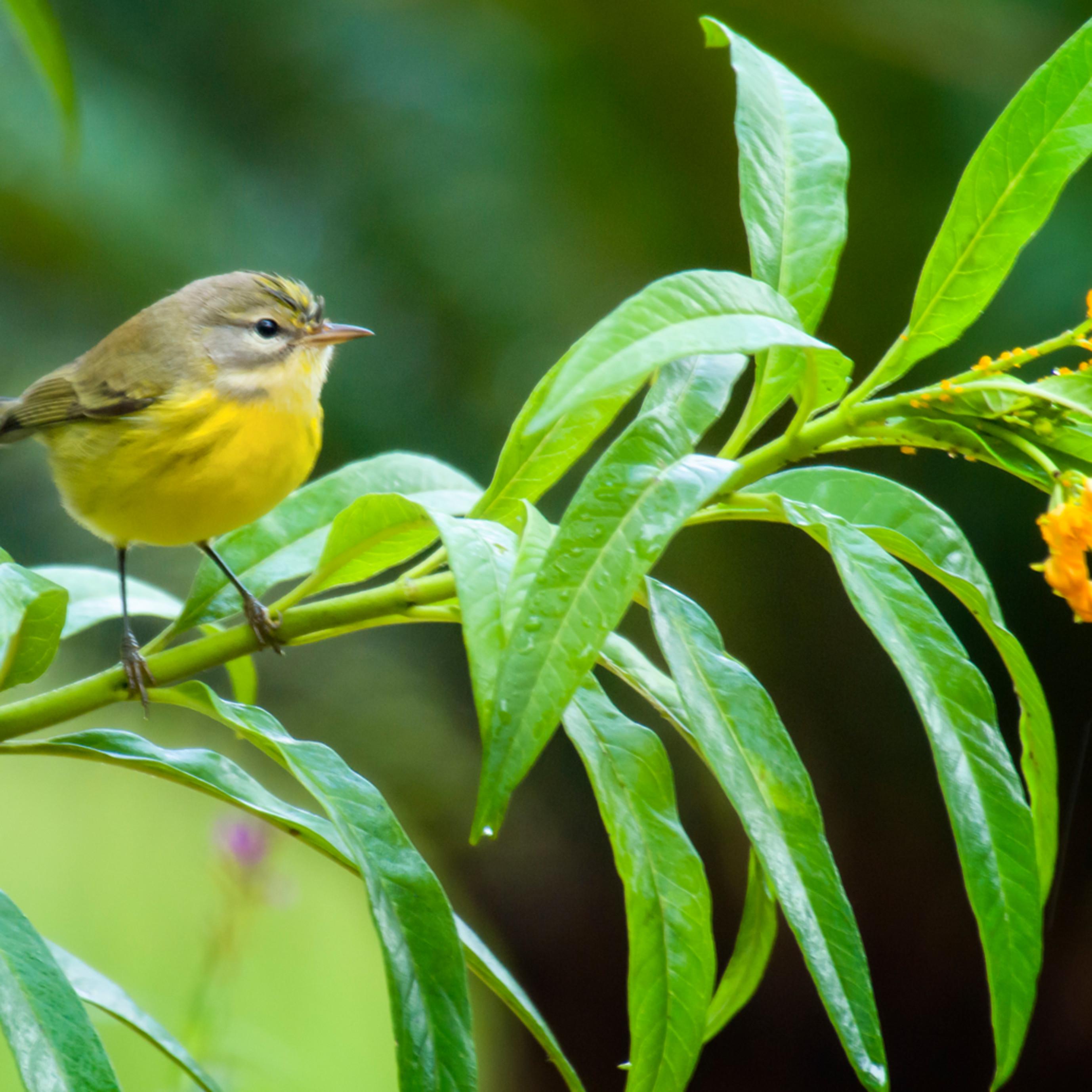 Backyard birds   sept 2019 20190918 2462 iok51s