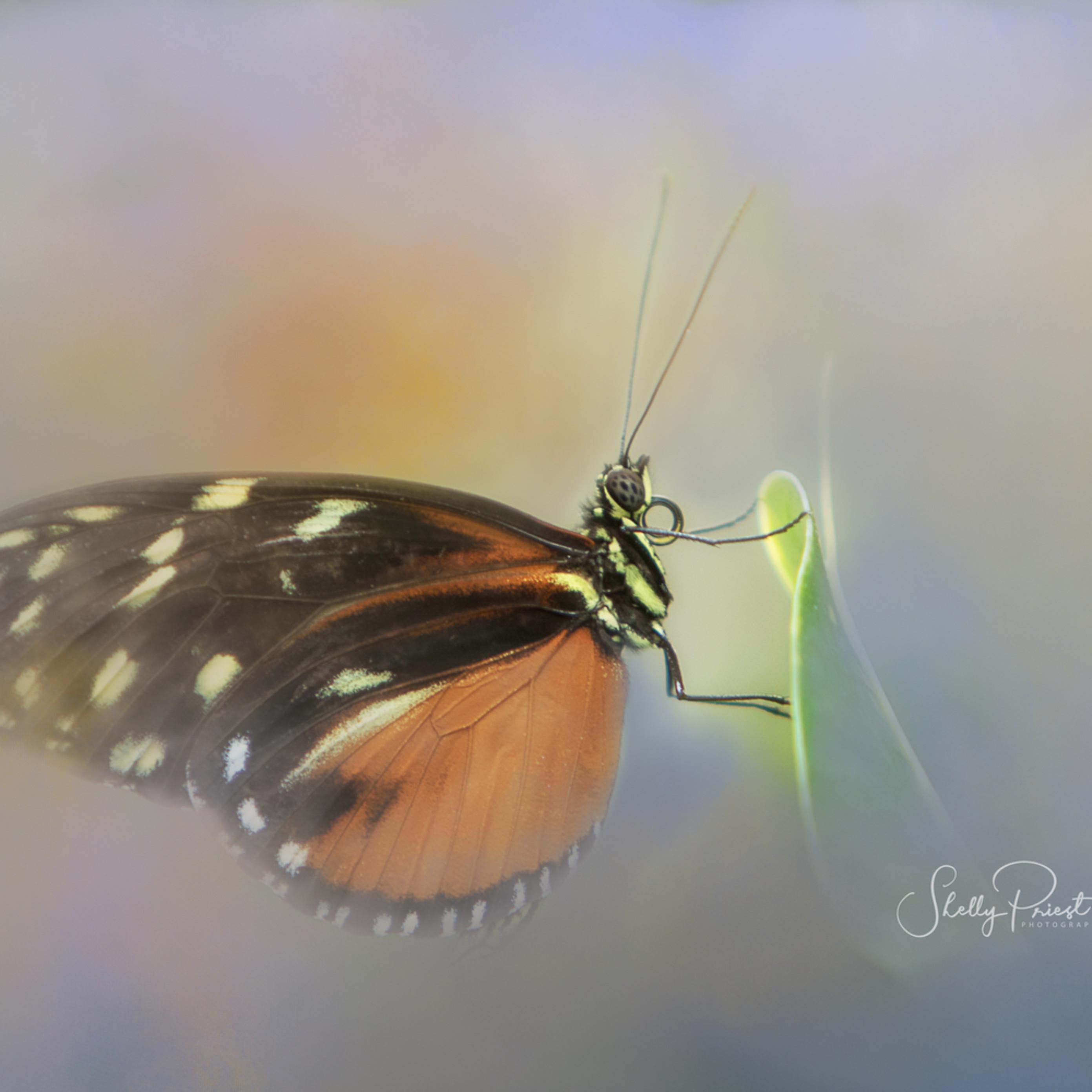Butterfly 0786 gwlr7m