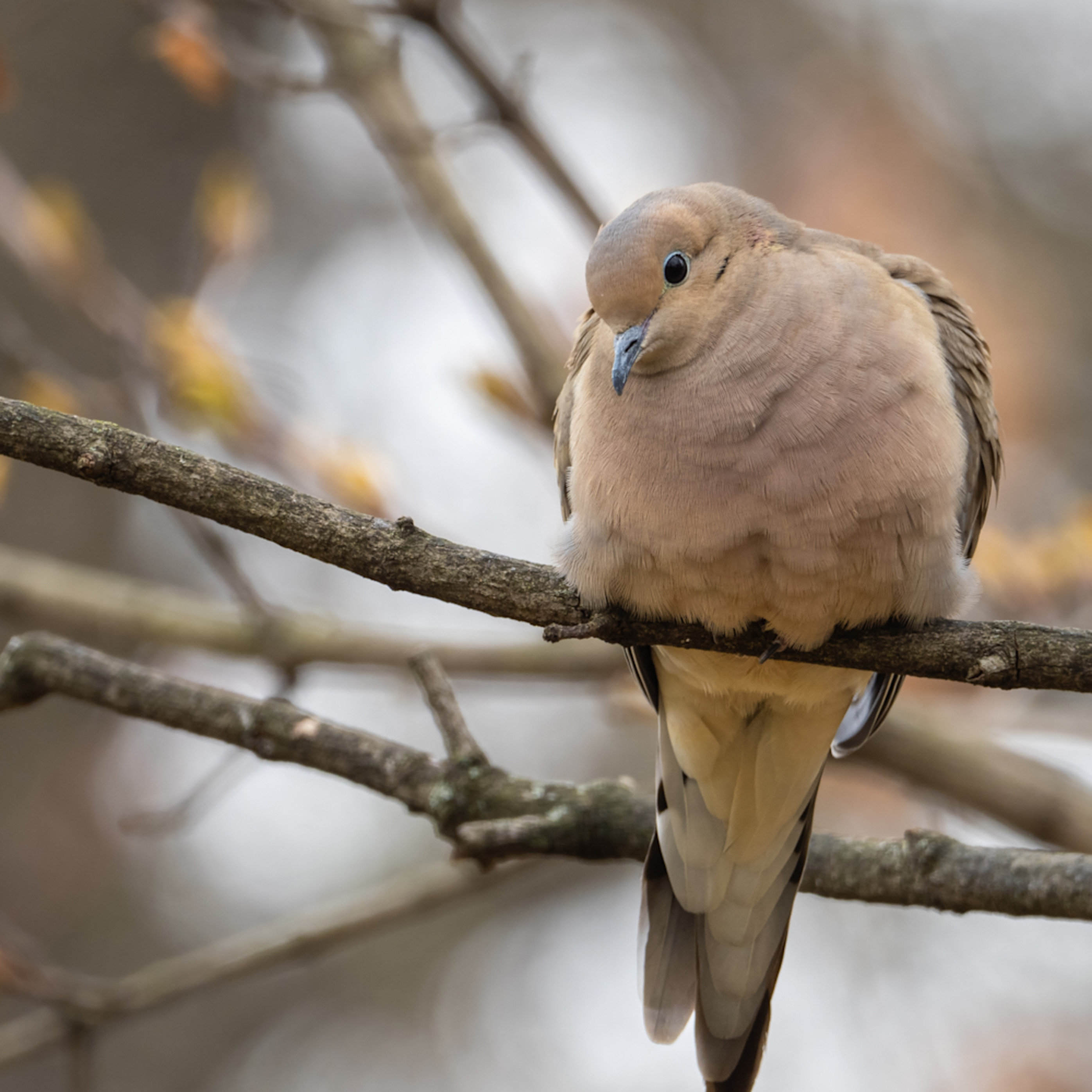Mourning dove o0741 n0hacd