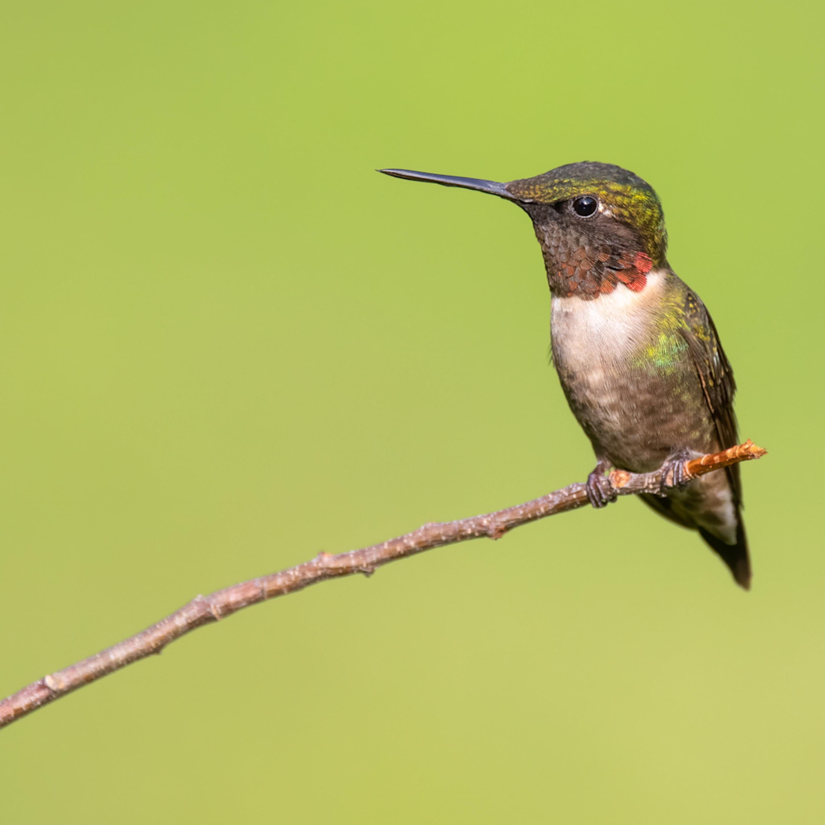 Perched hummingbird cuda nmlb6s