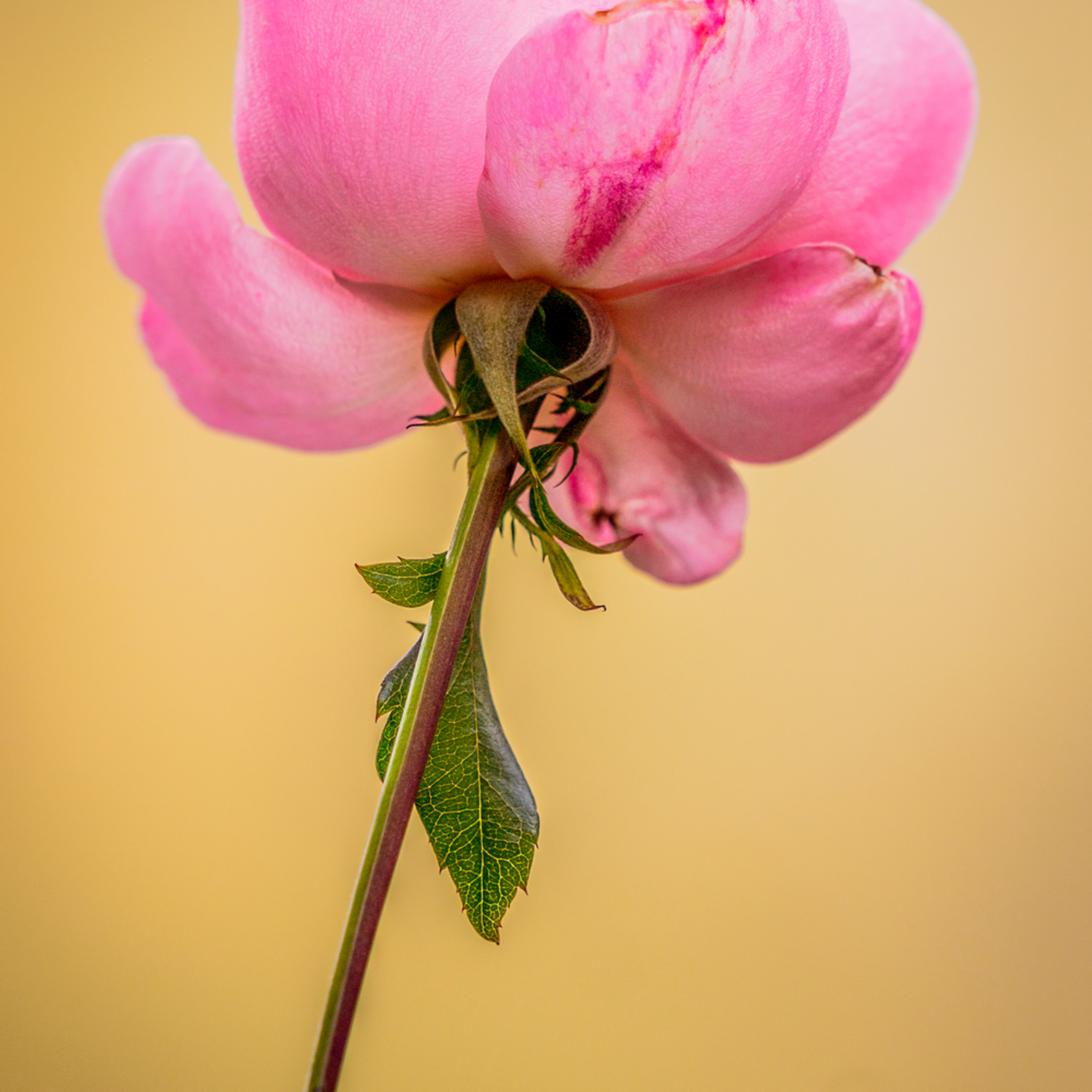 Rose 002 floral stem wq9tlh