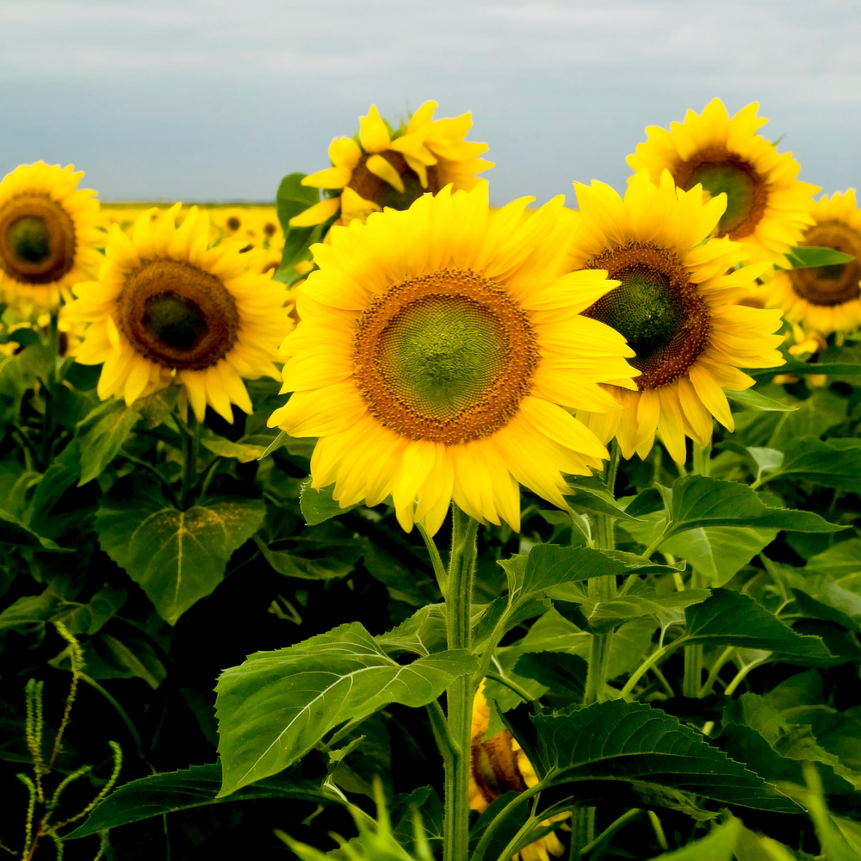 Sunflowers adjusted cabji3