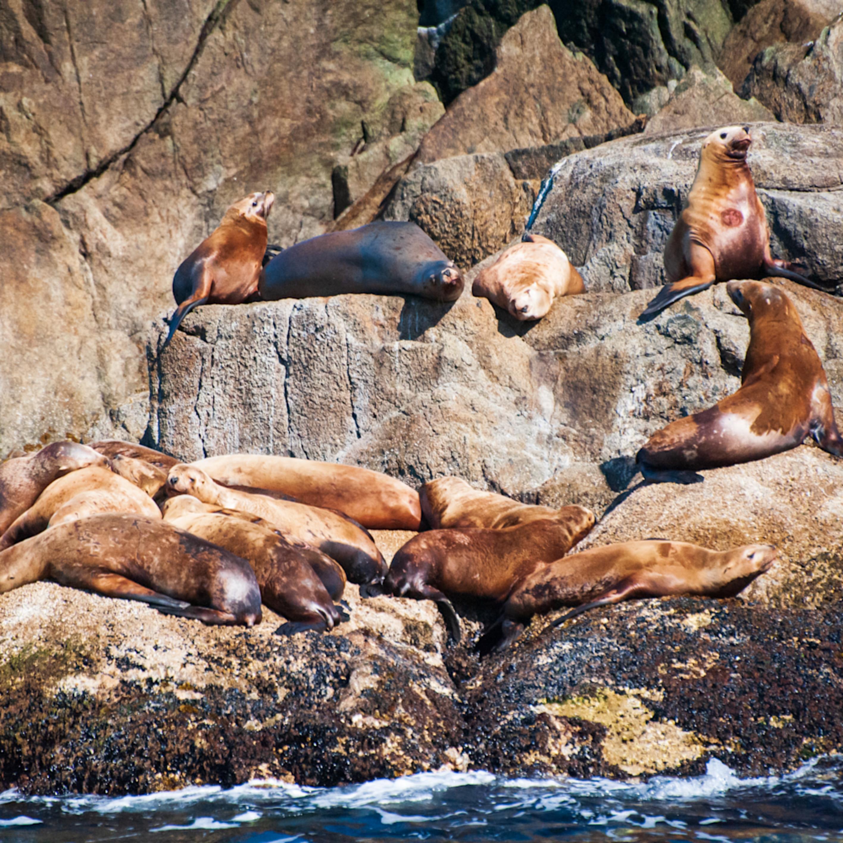 Basking steller sea lions 2 xxay09