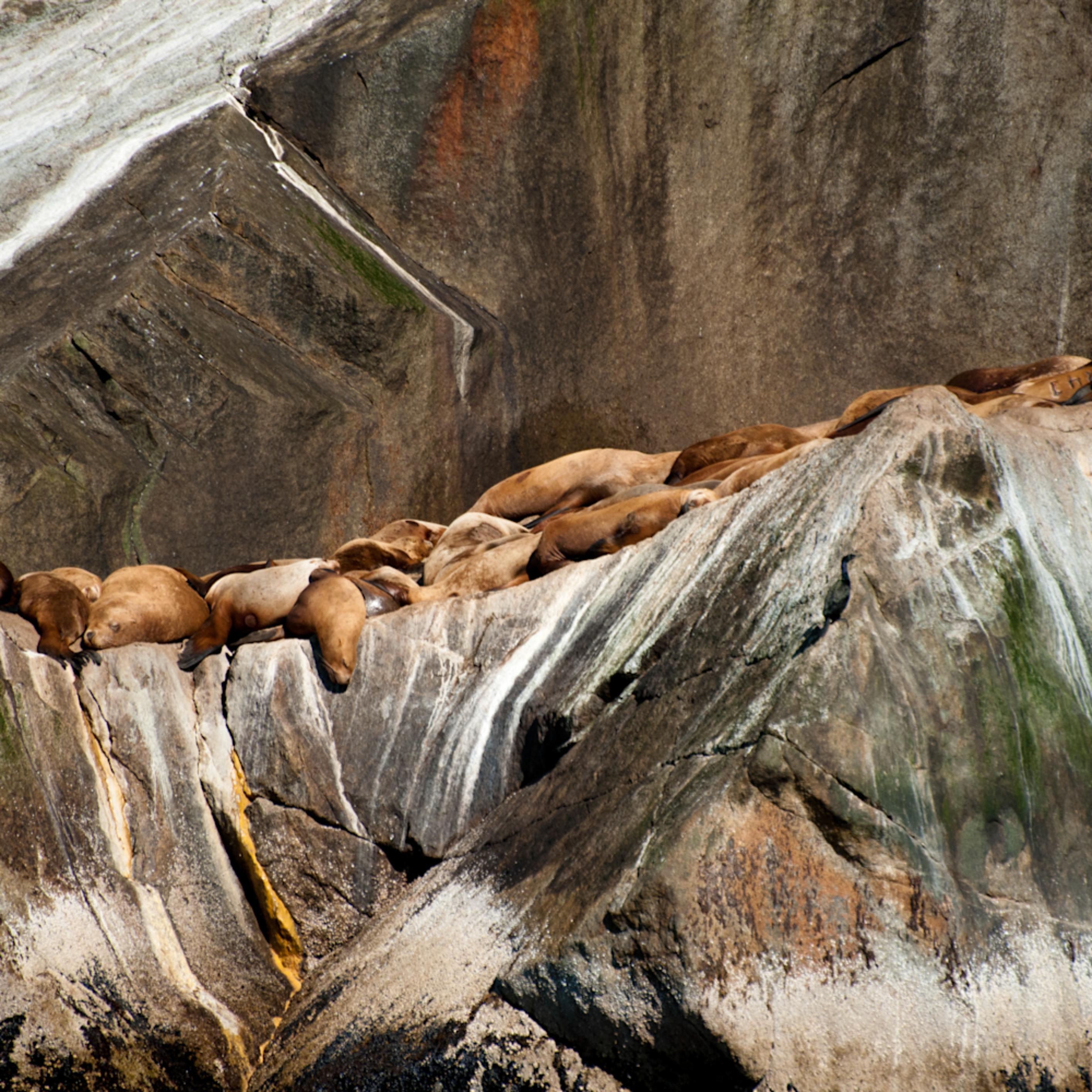 Basking steller sea lions onj7lh