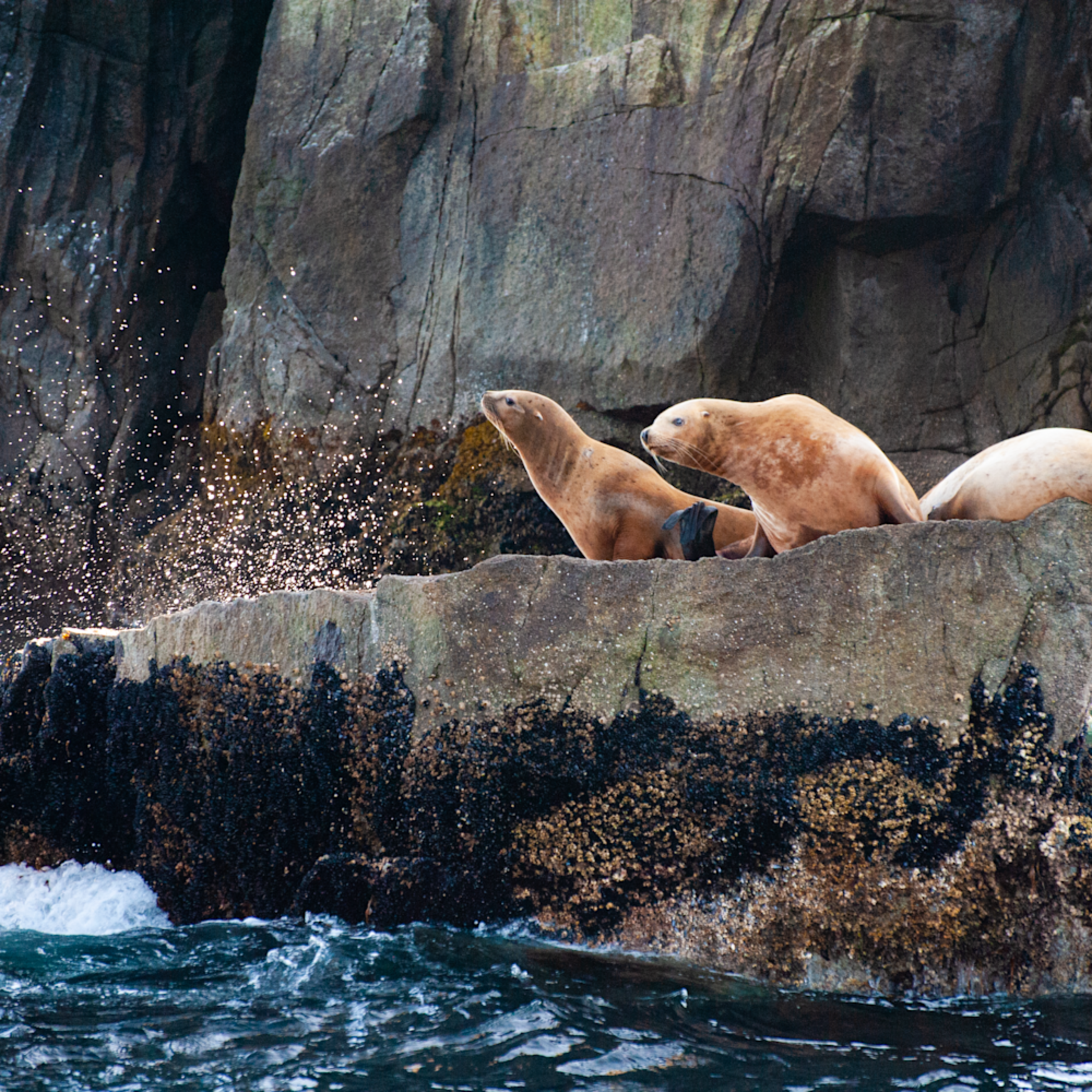Steller sea lions larry curly and mo 1 cwgqx1