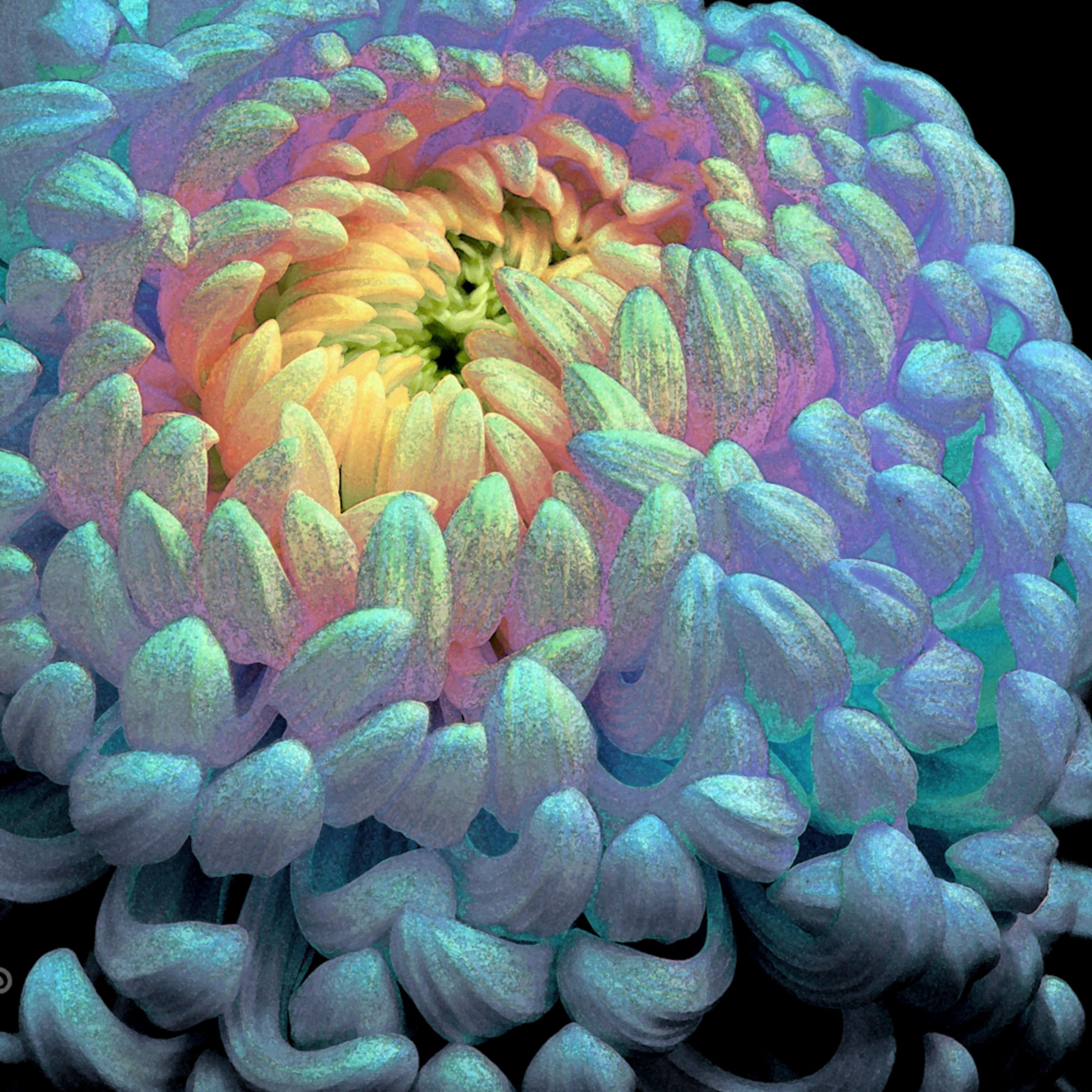 Funky chrysanthemum lgiyqu