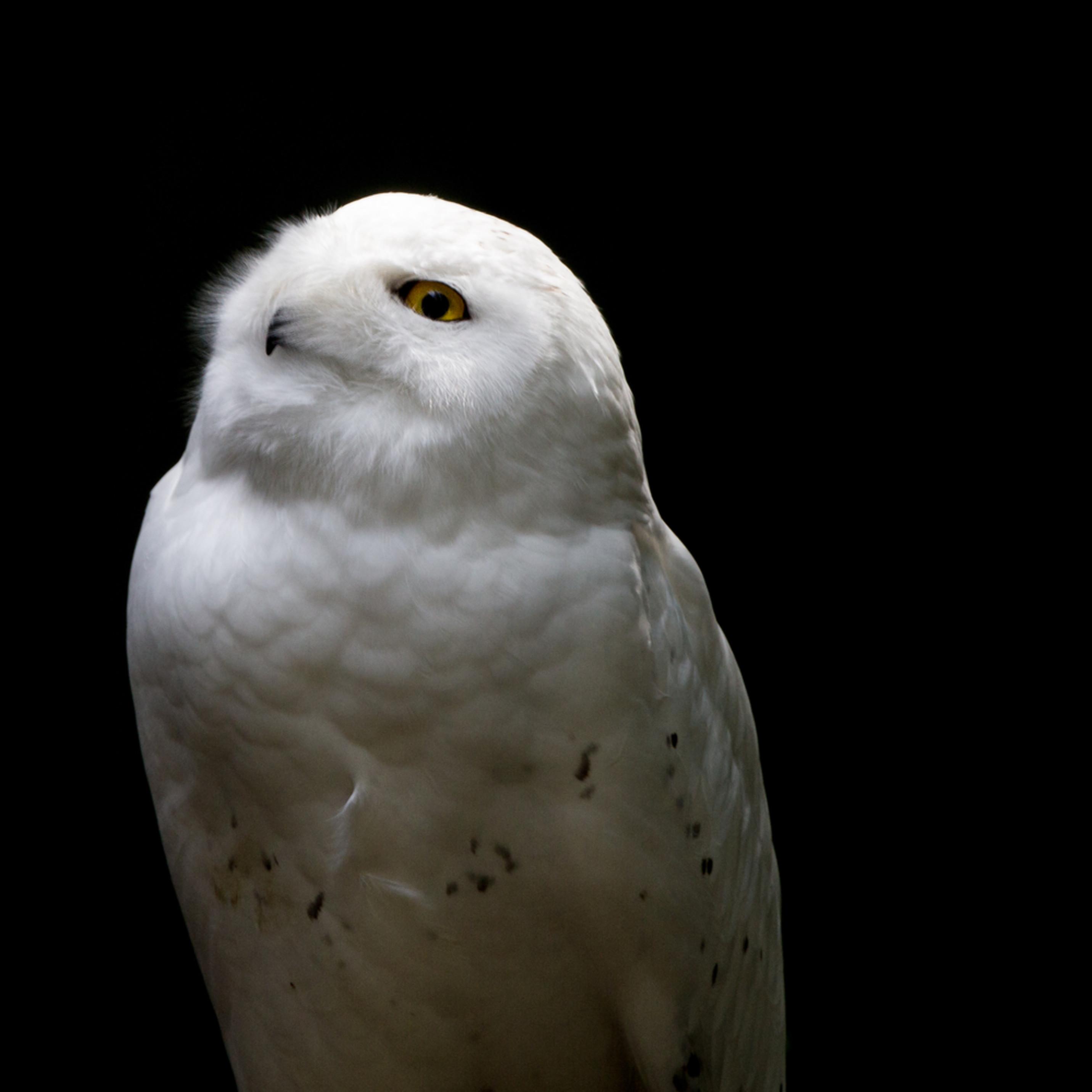 Snowy owl looks into the sun xn84ek
