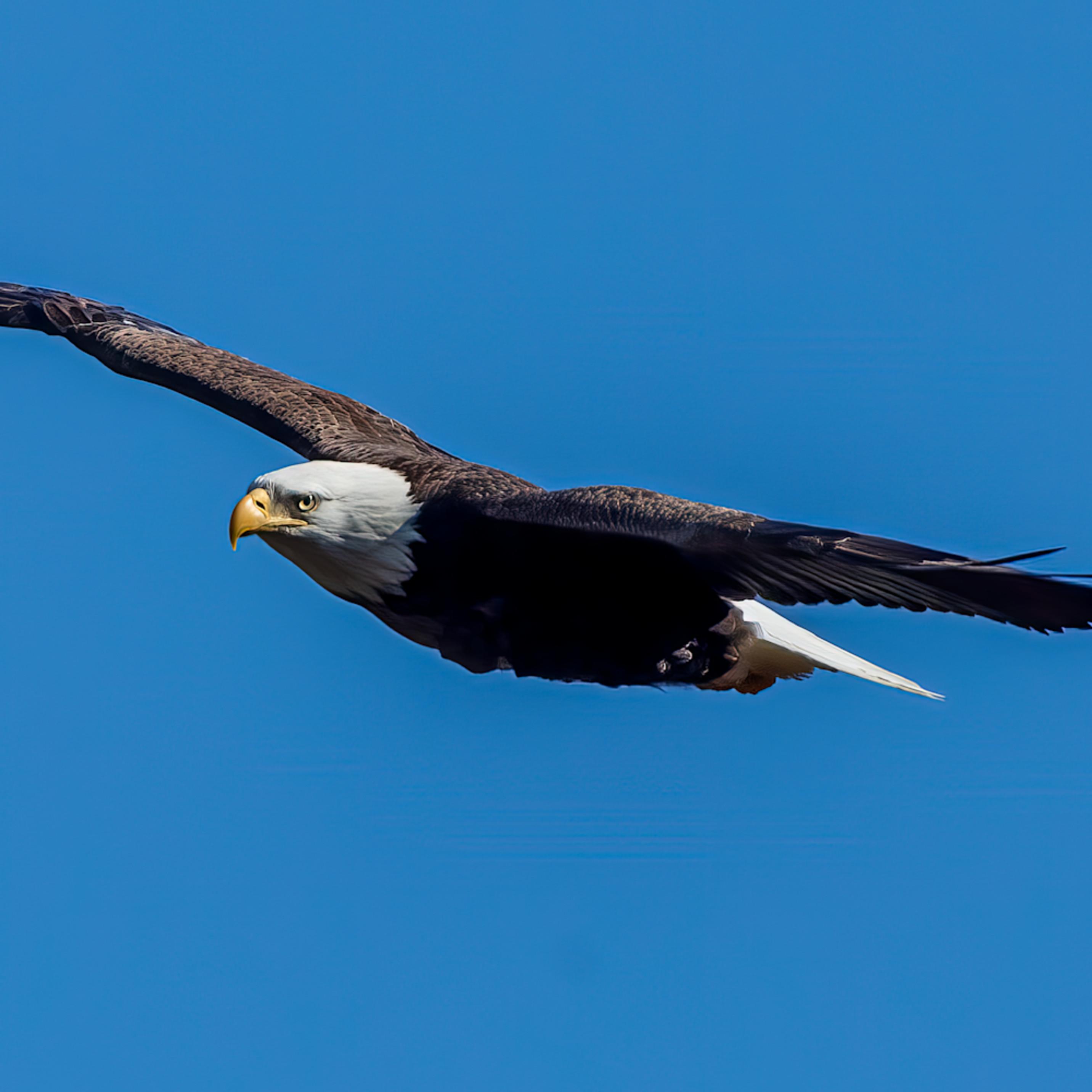 Soaring bald eagle bkfeq0