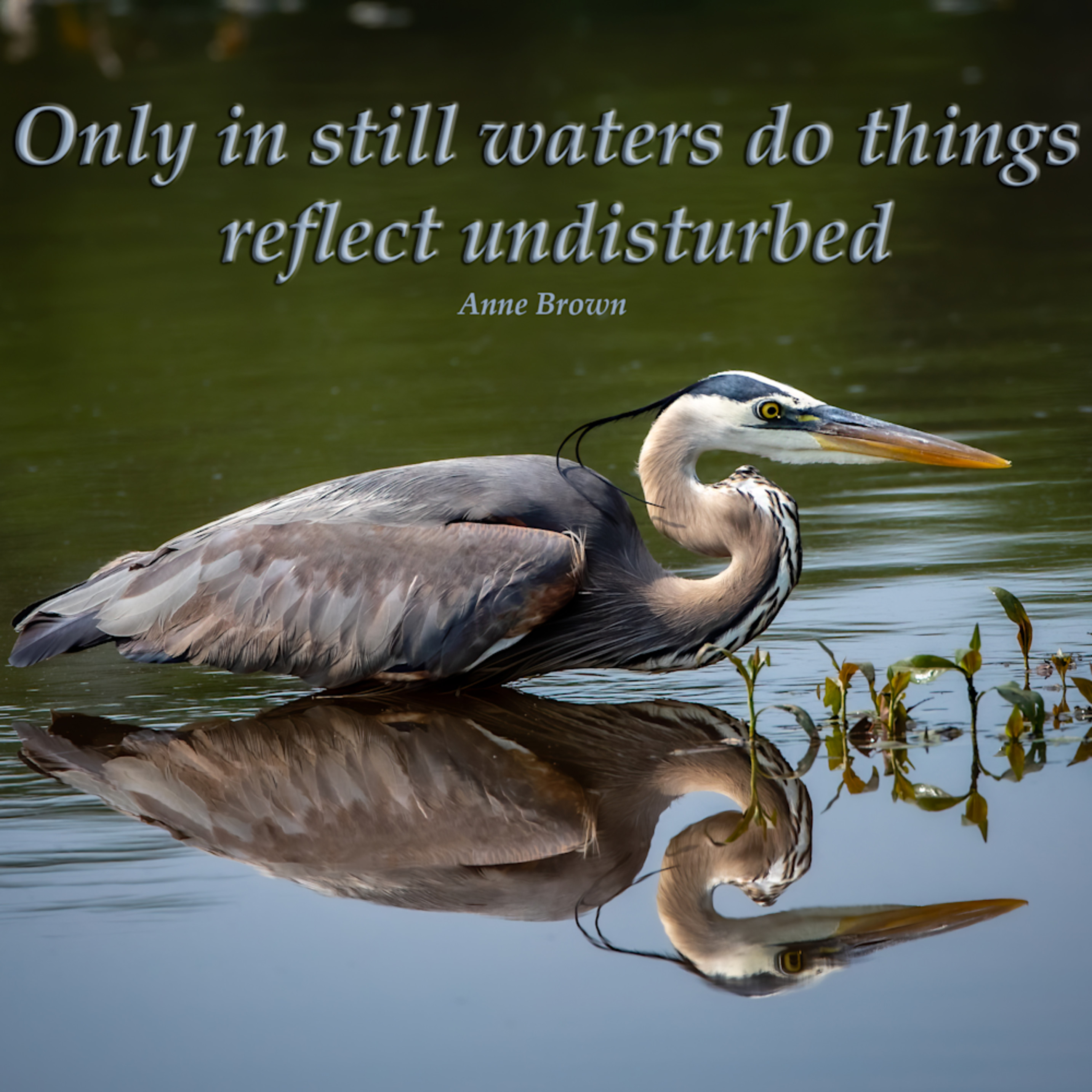 Only in still waters do things reflect undisturbed   great blue heron ccixug