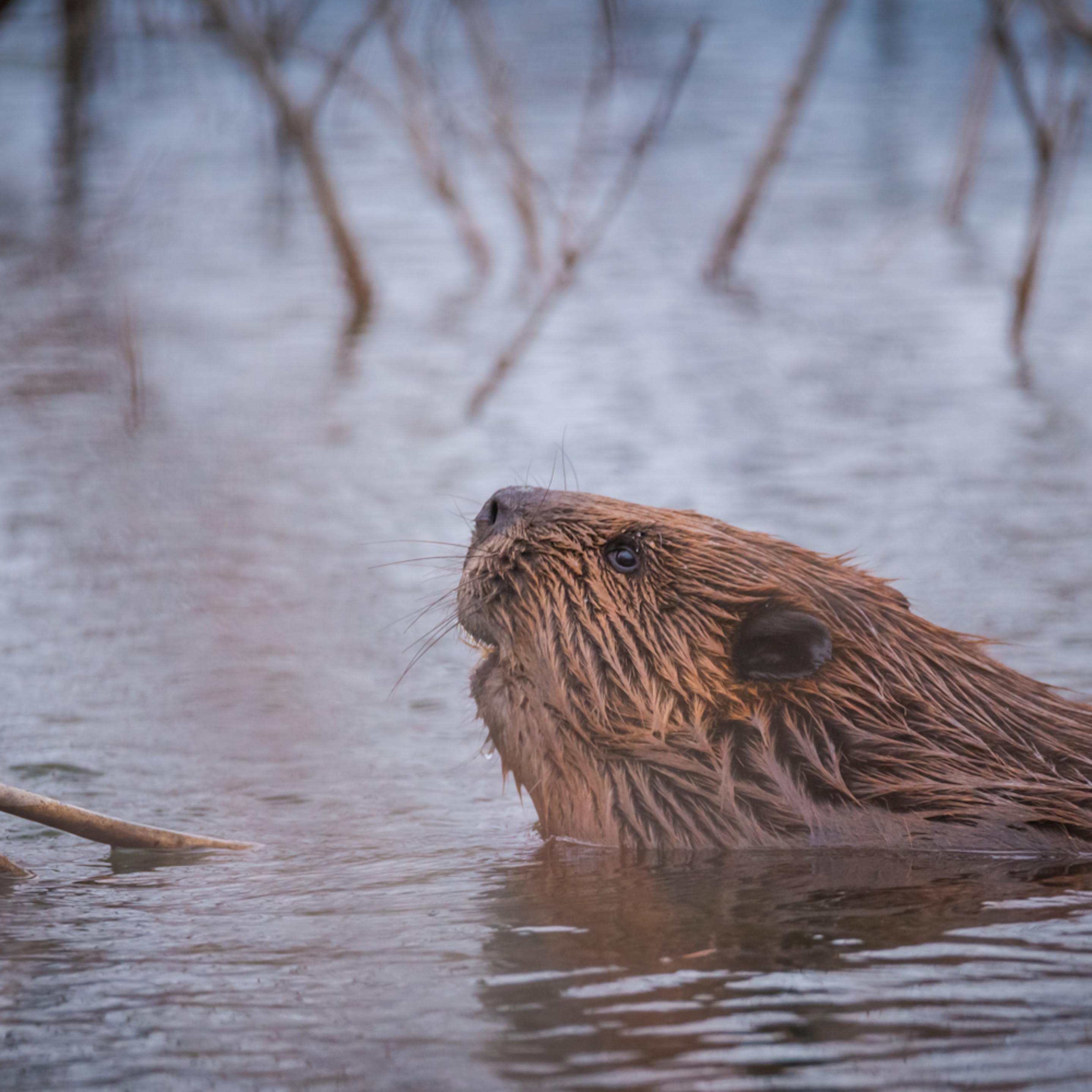 Beaver ynguix