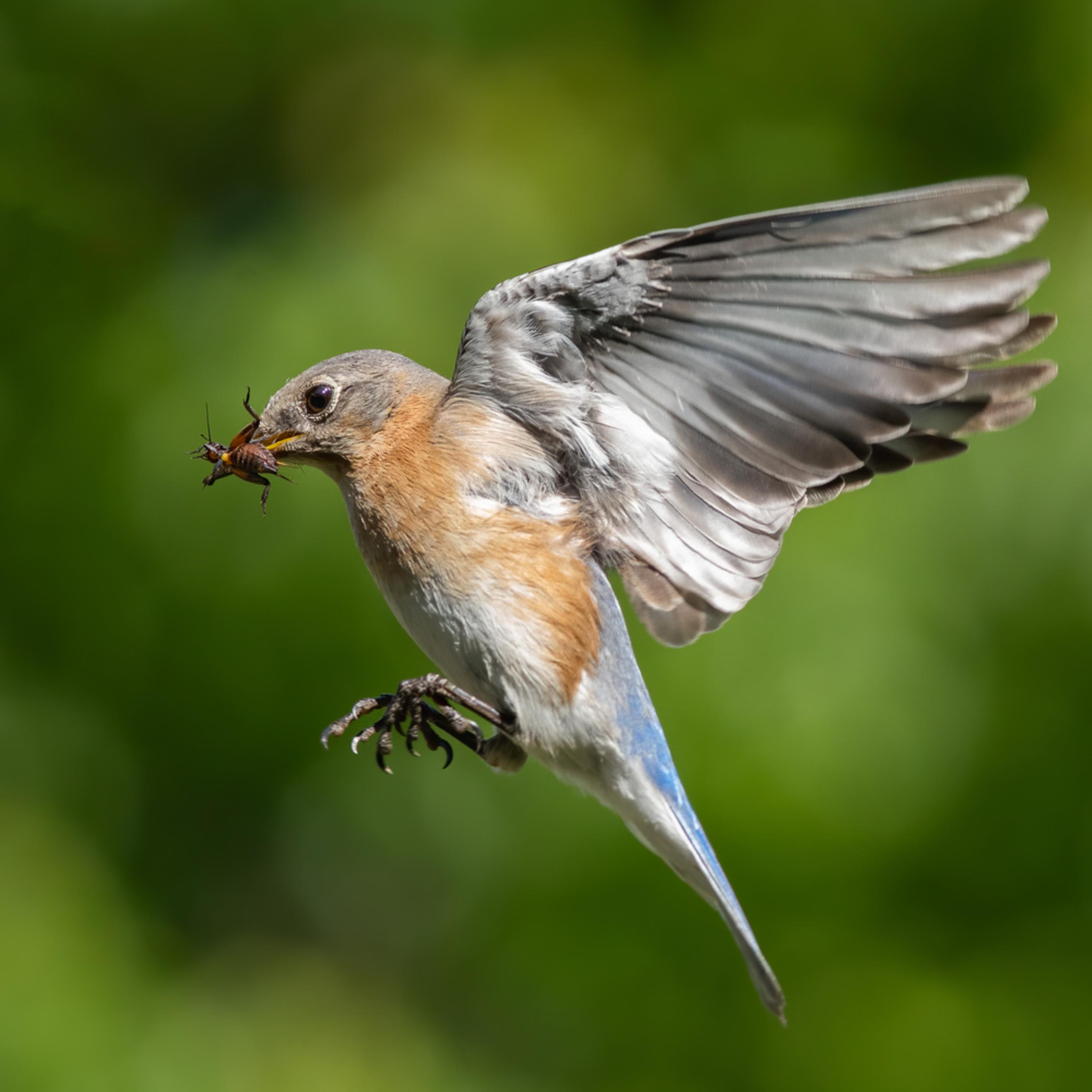 Forsyth county nc bluebird insect cuda3 shqcbp