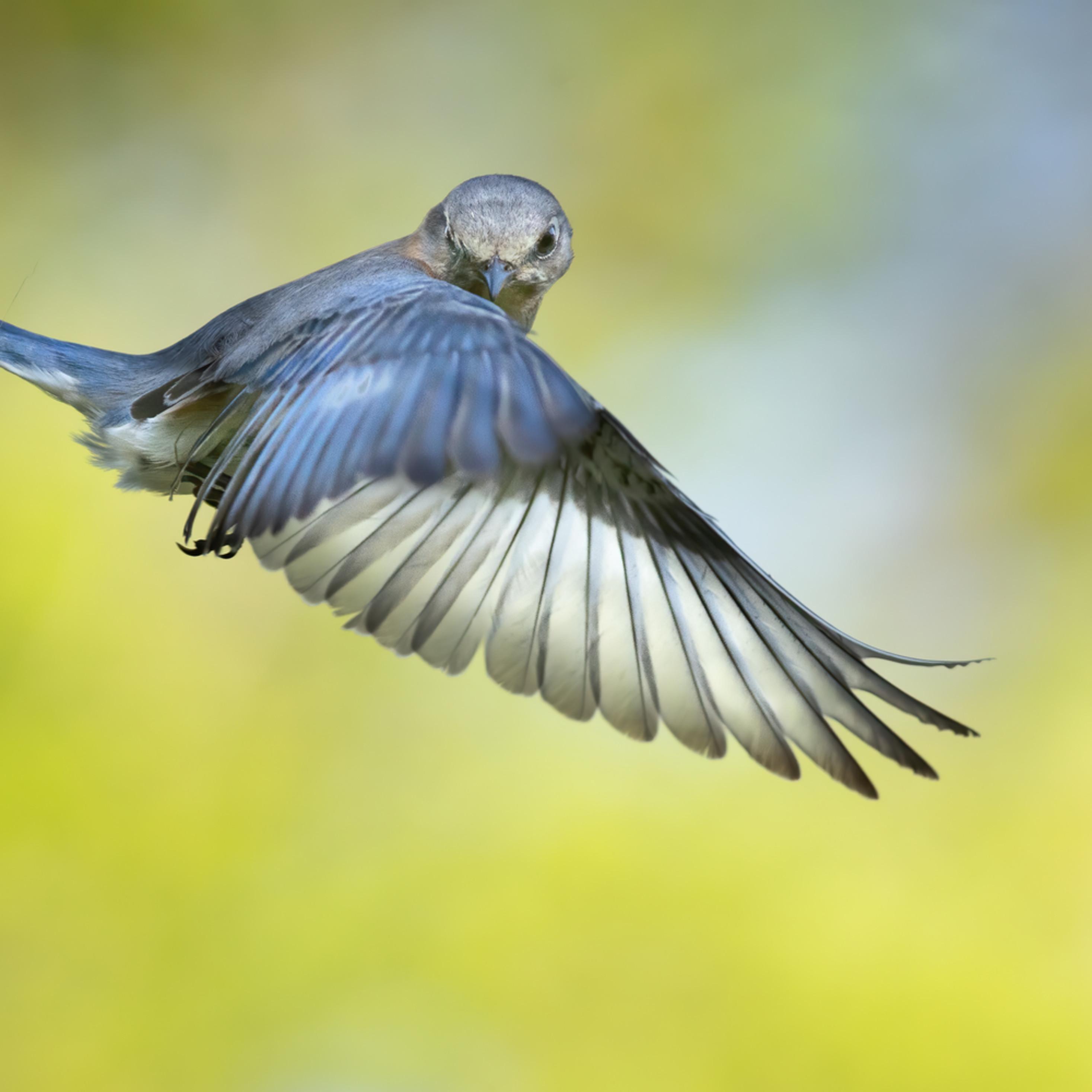 Forsyth county nc bluebird flight huxfyw