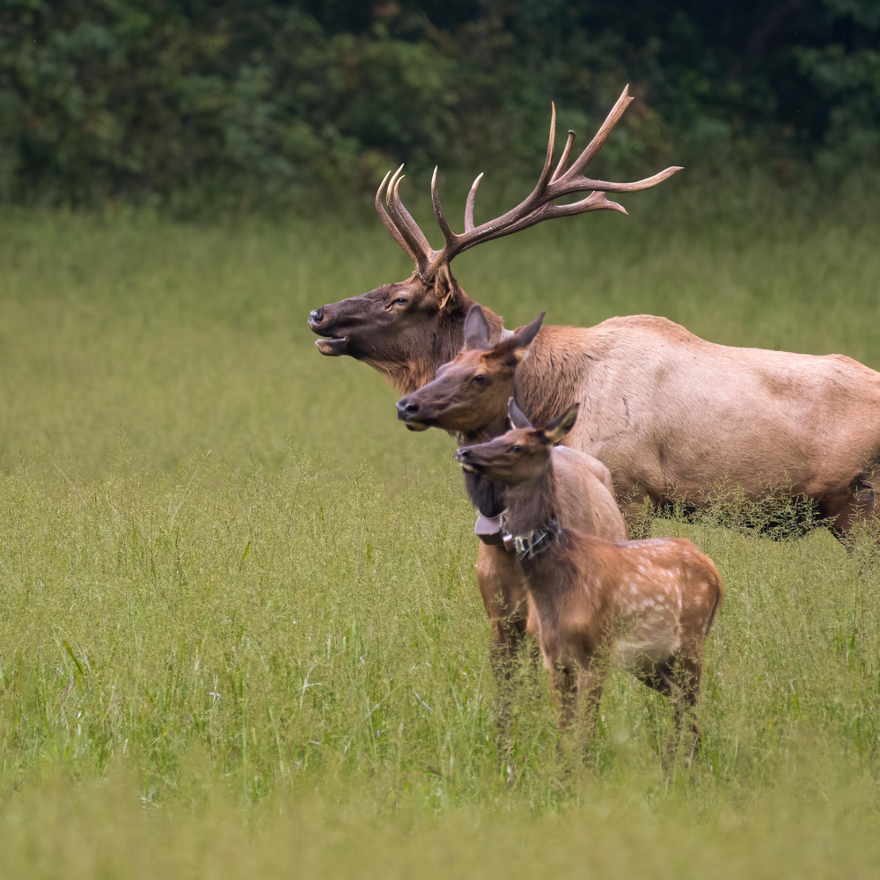Cataloochee nc bull cow calf genrations hvgwce