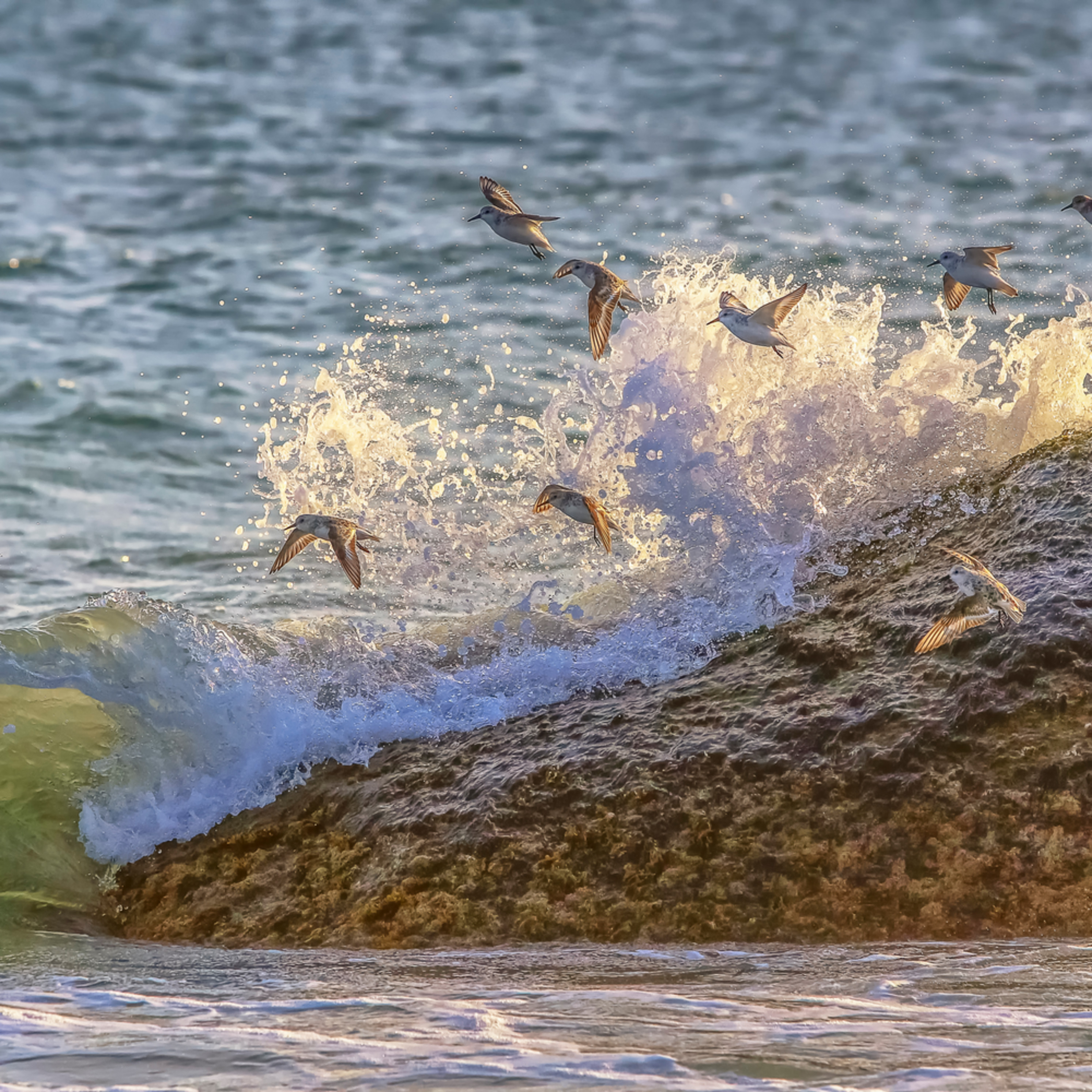 Sanderling rock and waves zppo6x