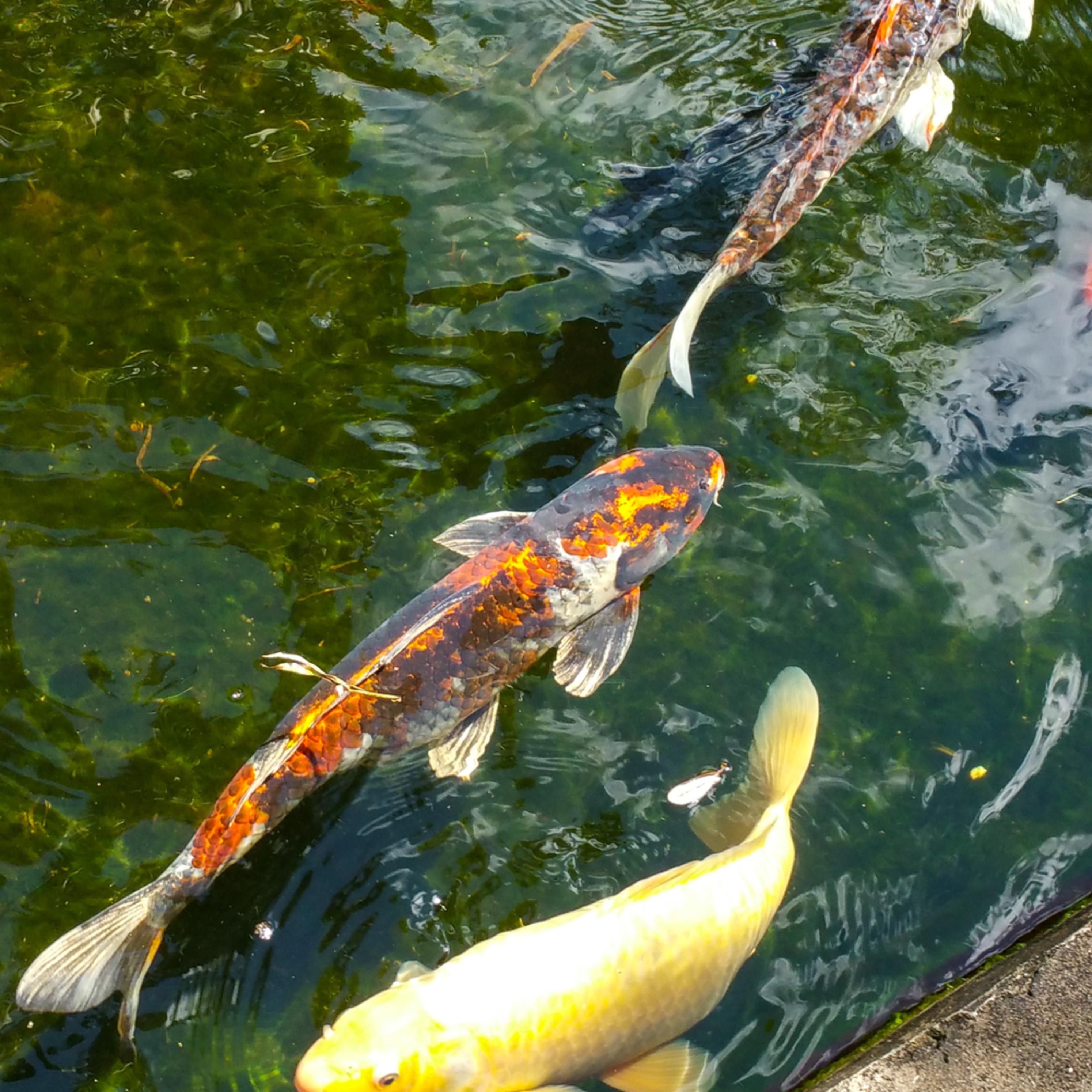 Koi swimming in pond htdq6t