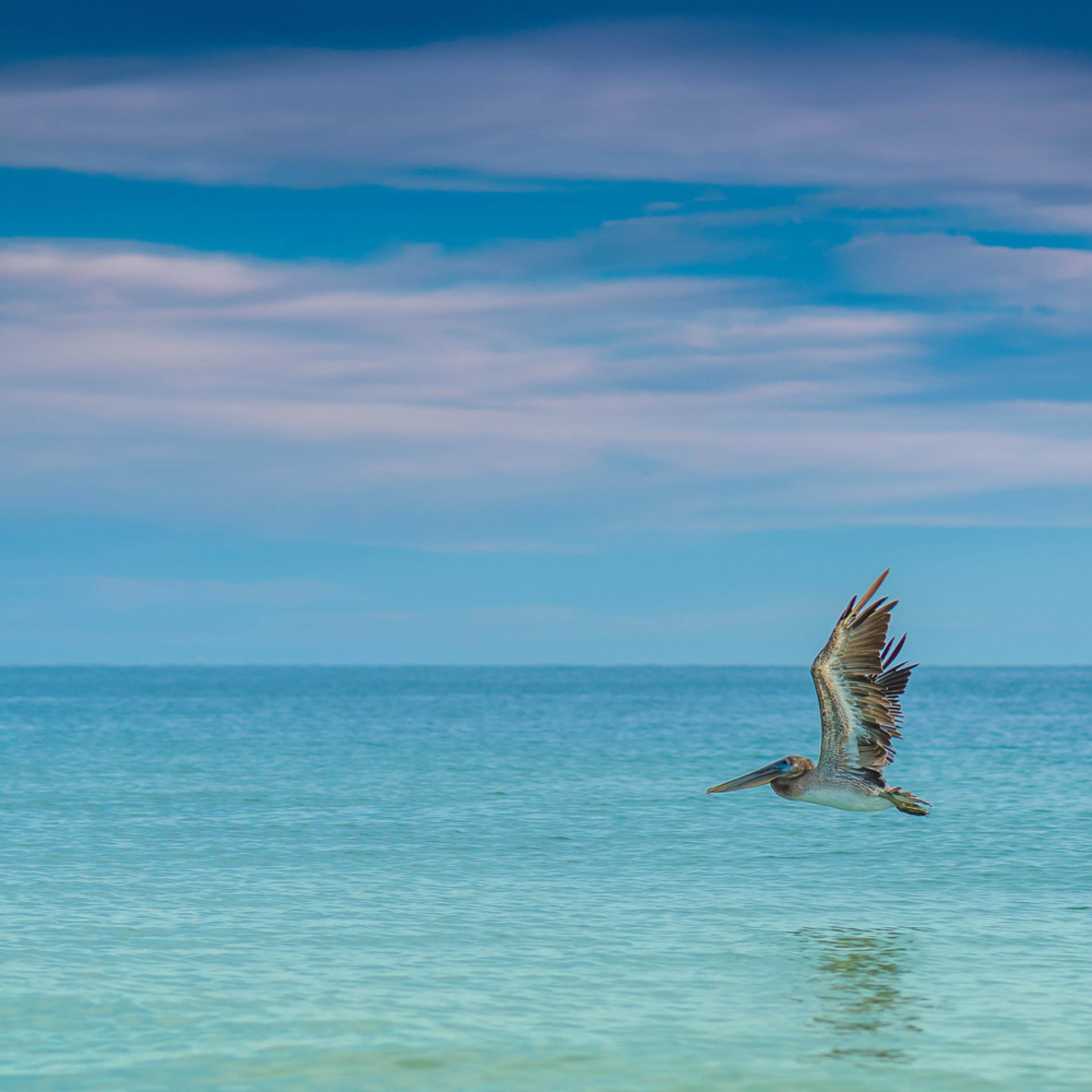 Pelicano bf7a0j