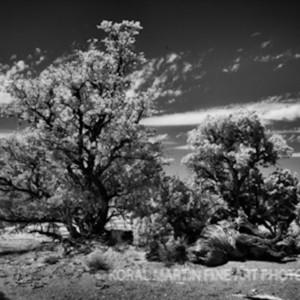 Infrared infared canyonlands tree5657 koral martin vf2pjm