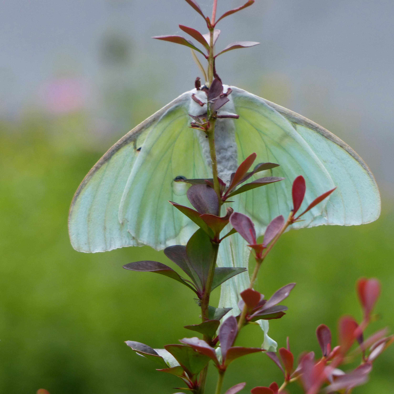 Tom nolan   nola luna moth side 2 wky80n