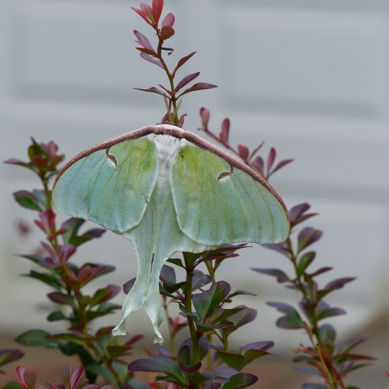 Tom nolan   nola luna moth ocstmh