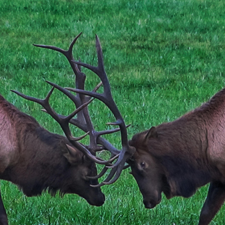 Elk bwzmeh