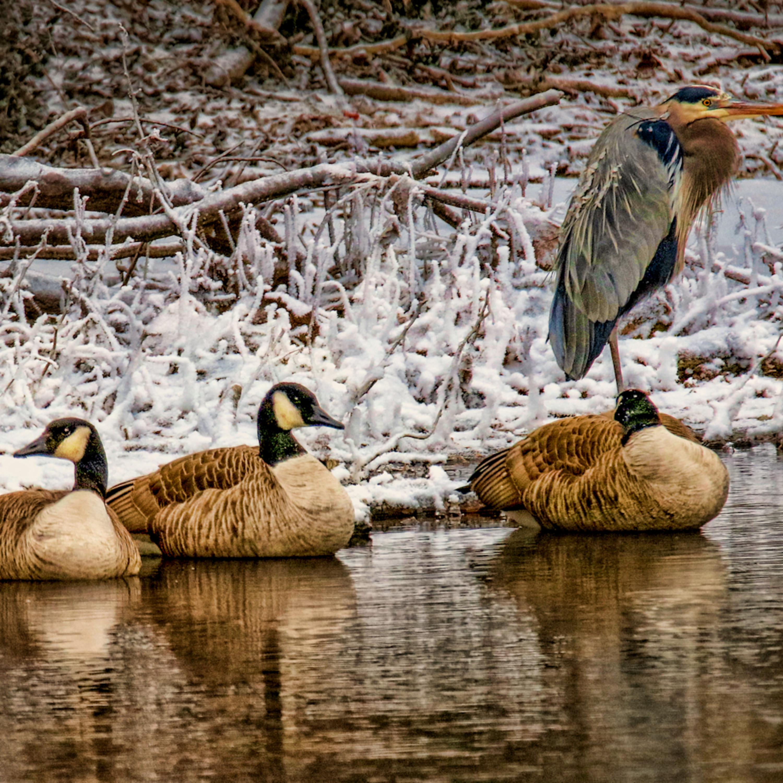 Huddling geese heron 1402h fss pqomzs