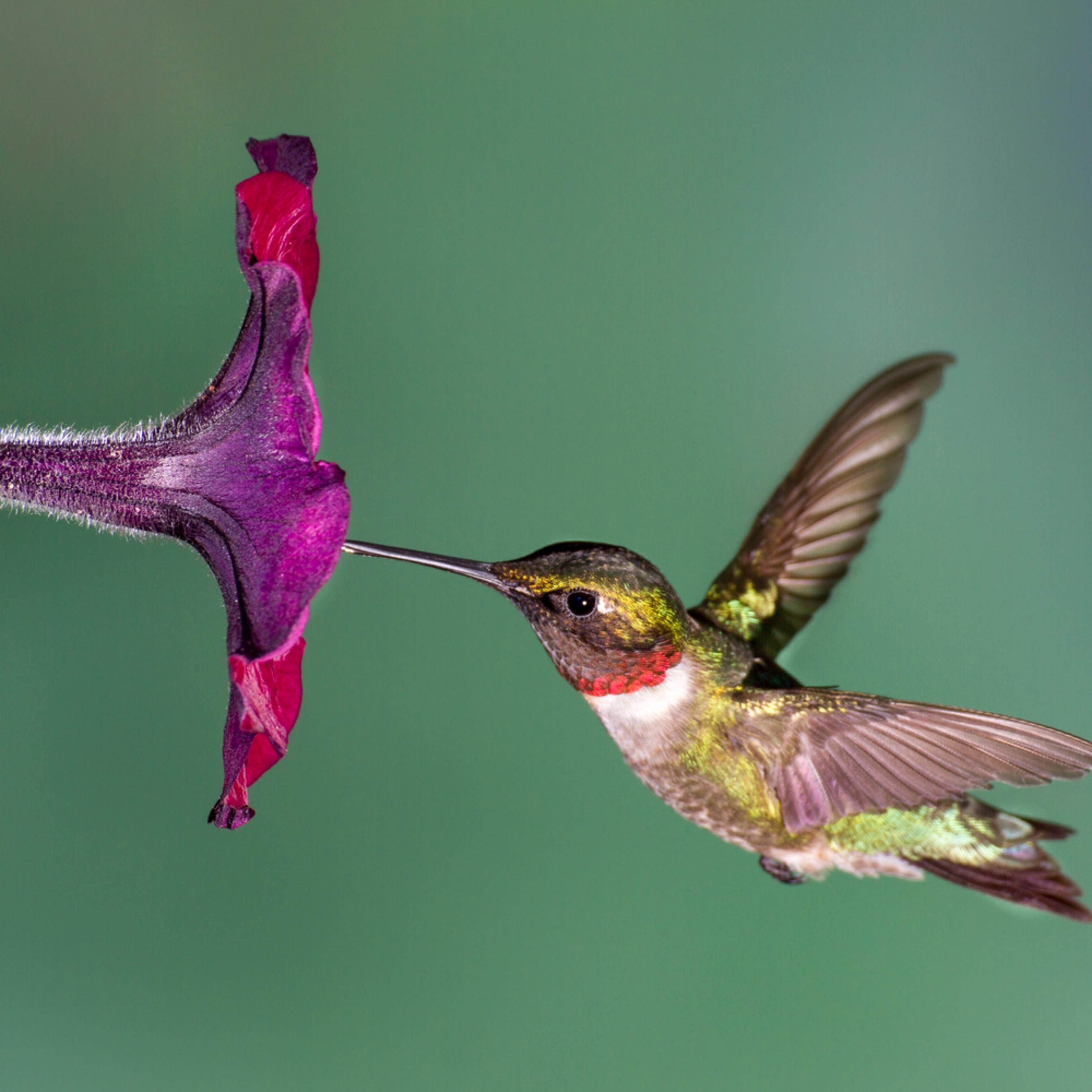 Forsyth county hummingbird cuda00 gz6c0e