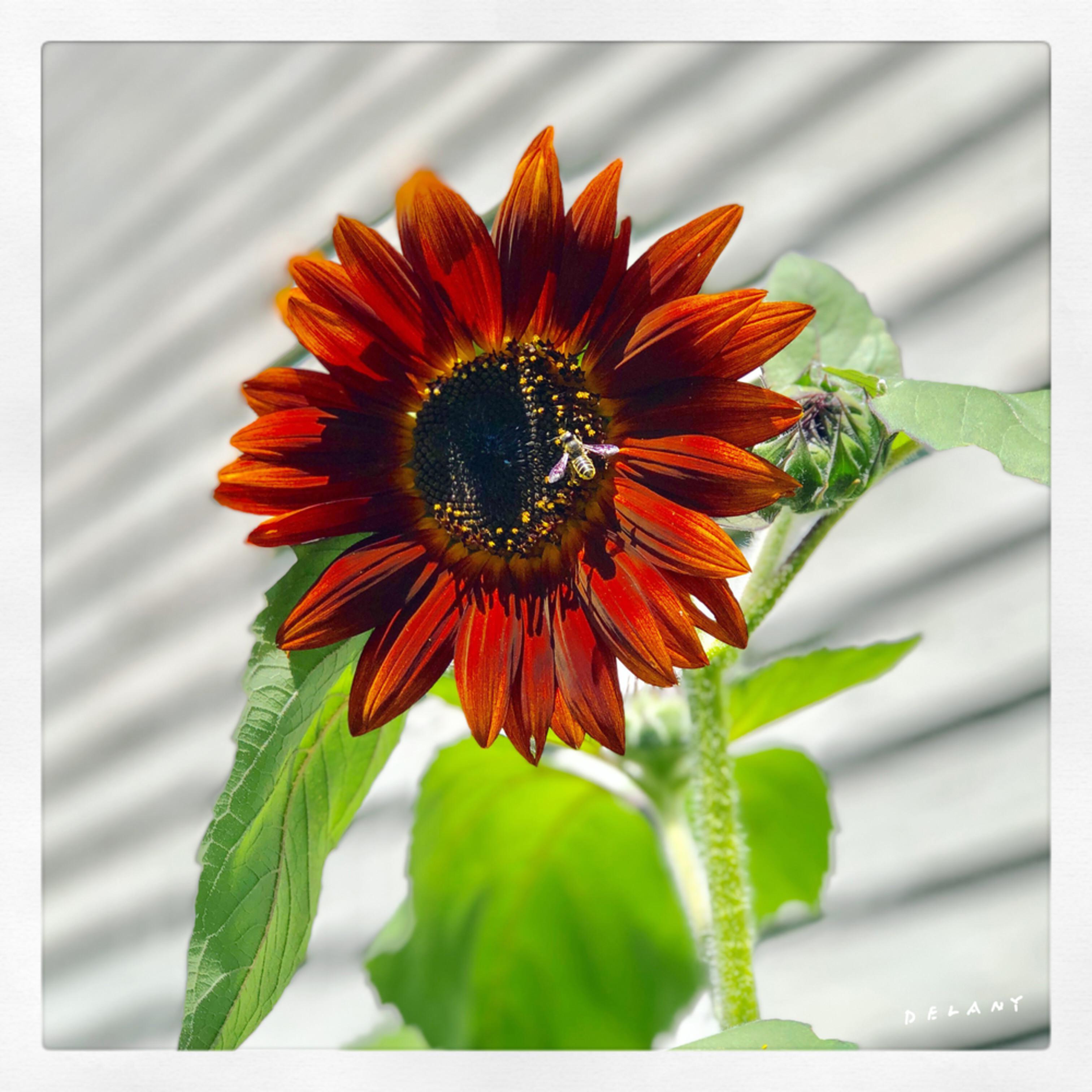 F beesonsunflower4 npfmzp