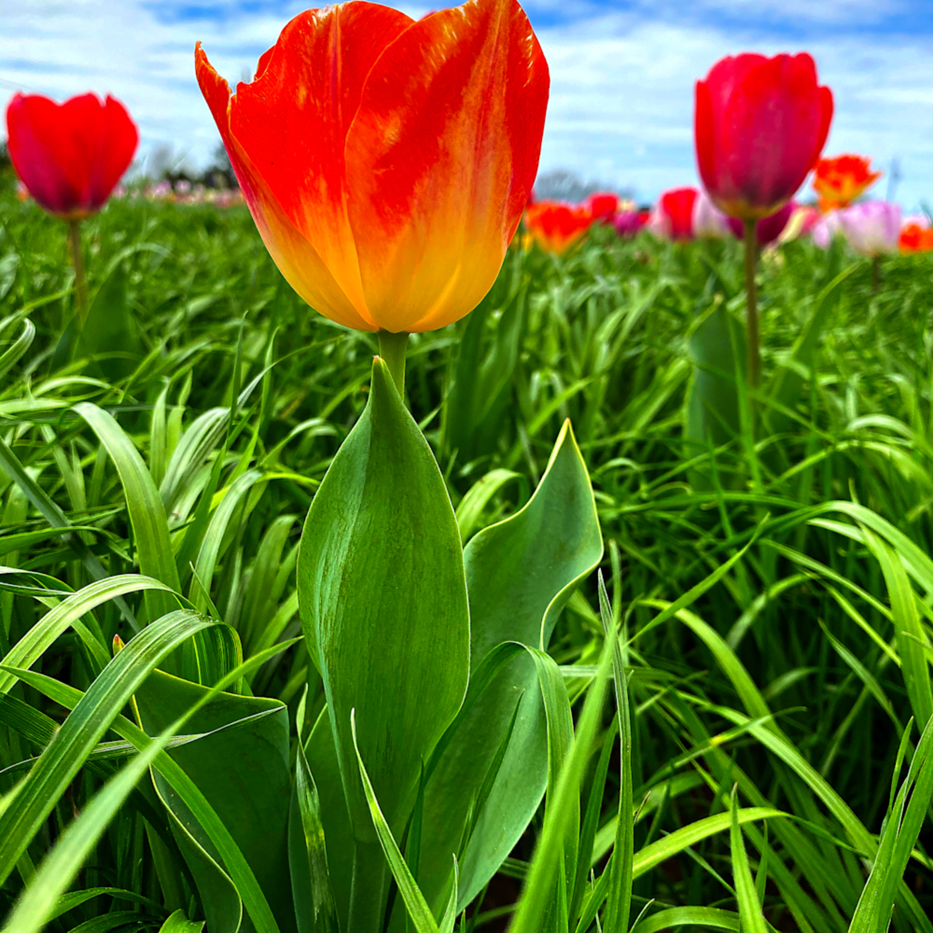 Tulip 2 oedvk6