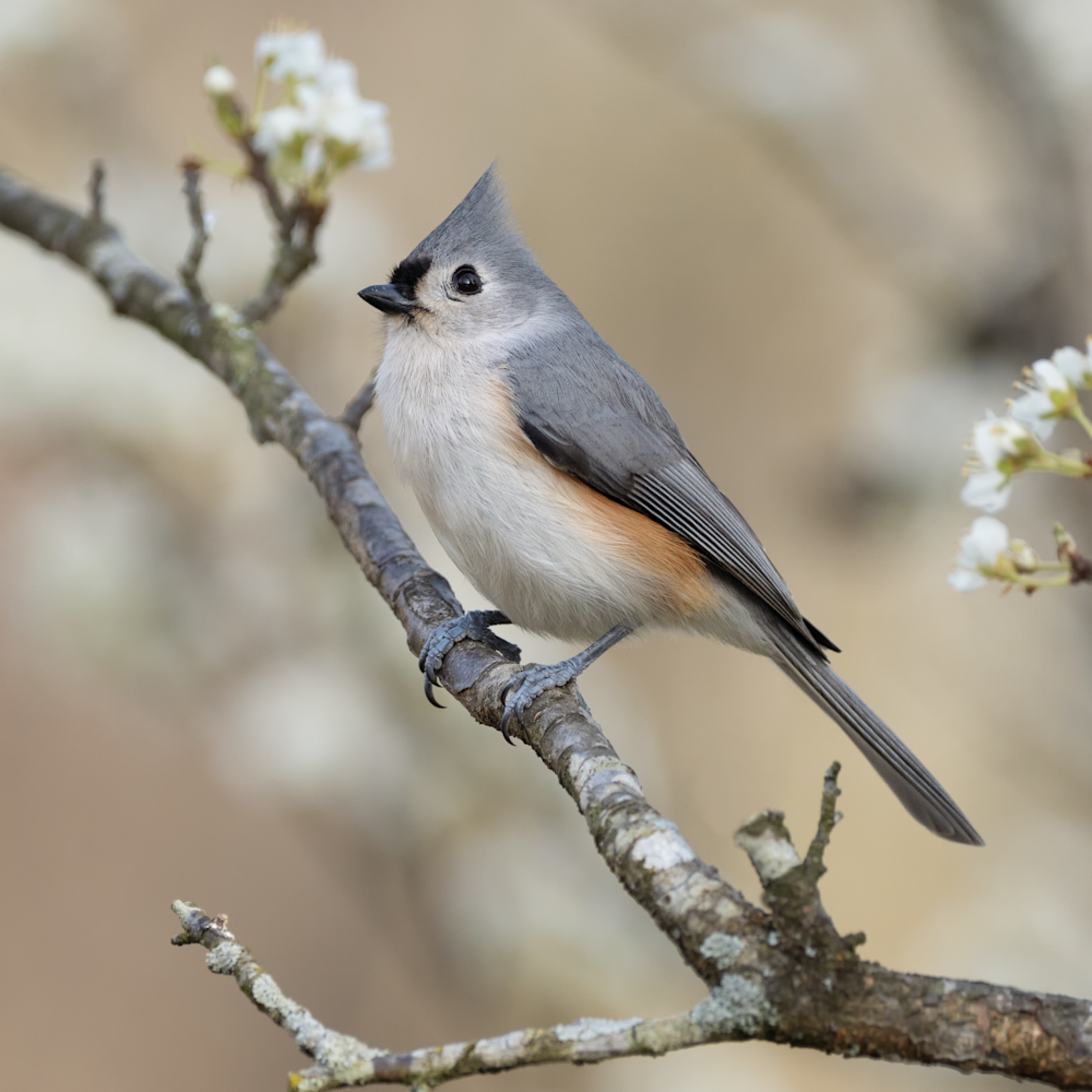 Forsyth county tuted titmouse kxehxb