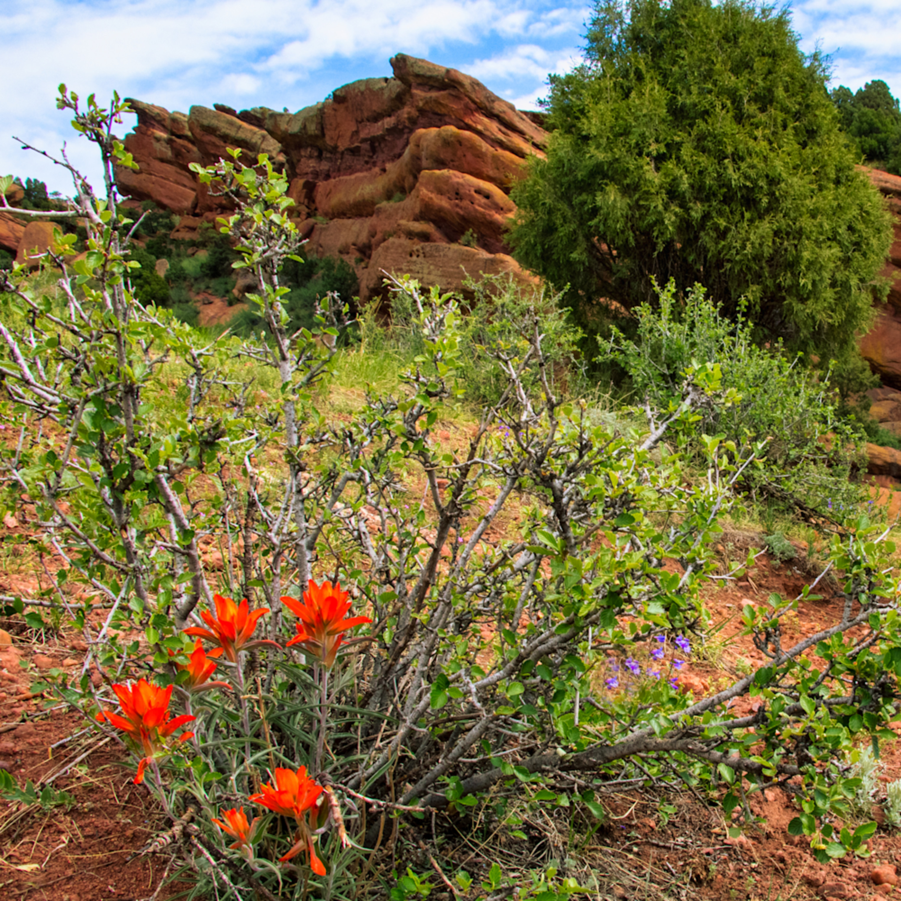 Orange flowers in red rock canyon 1 of 1 muj9bu