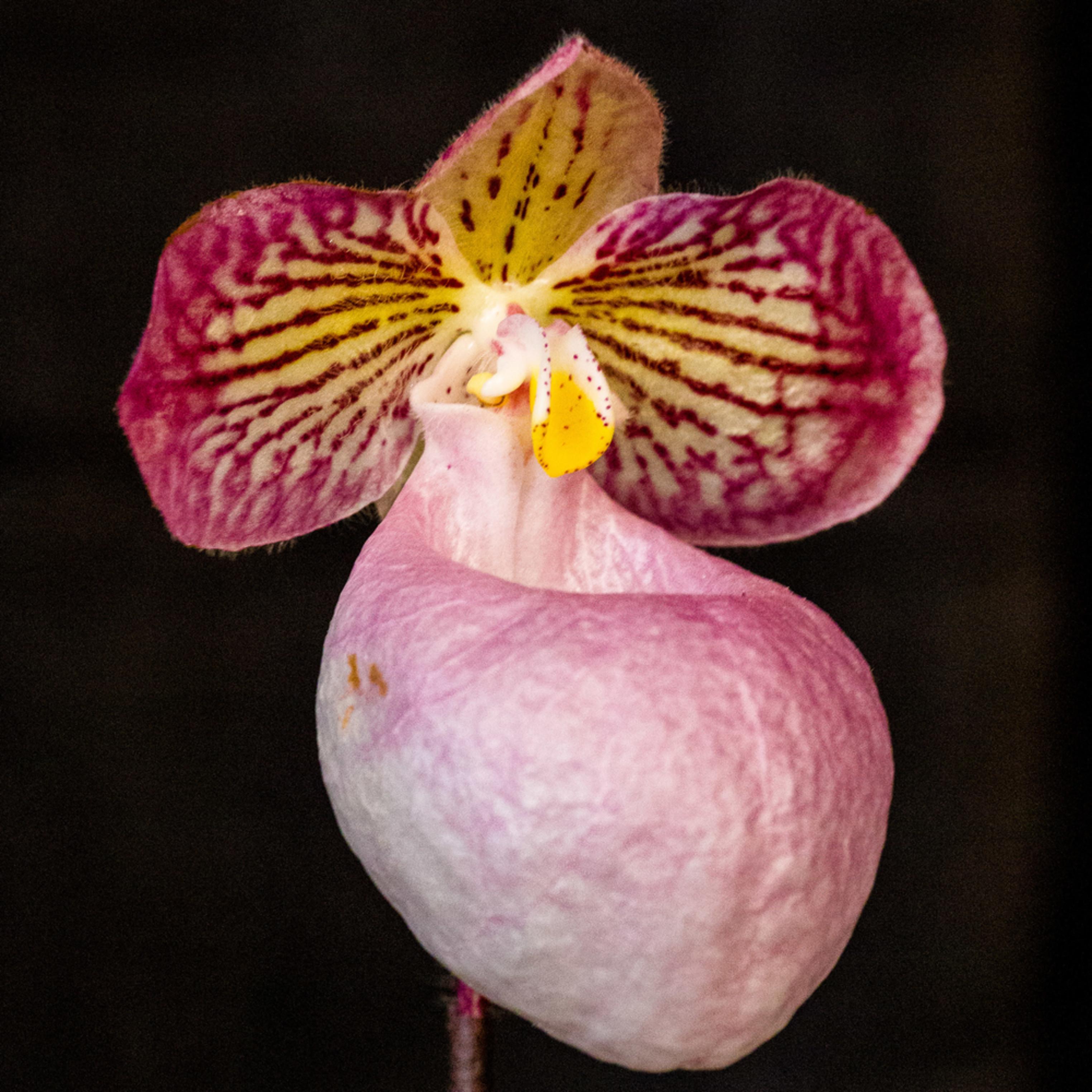 Lady slipper orchid pink hkws5t