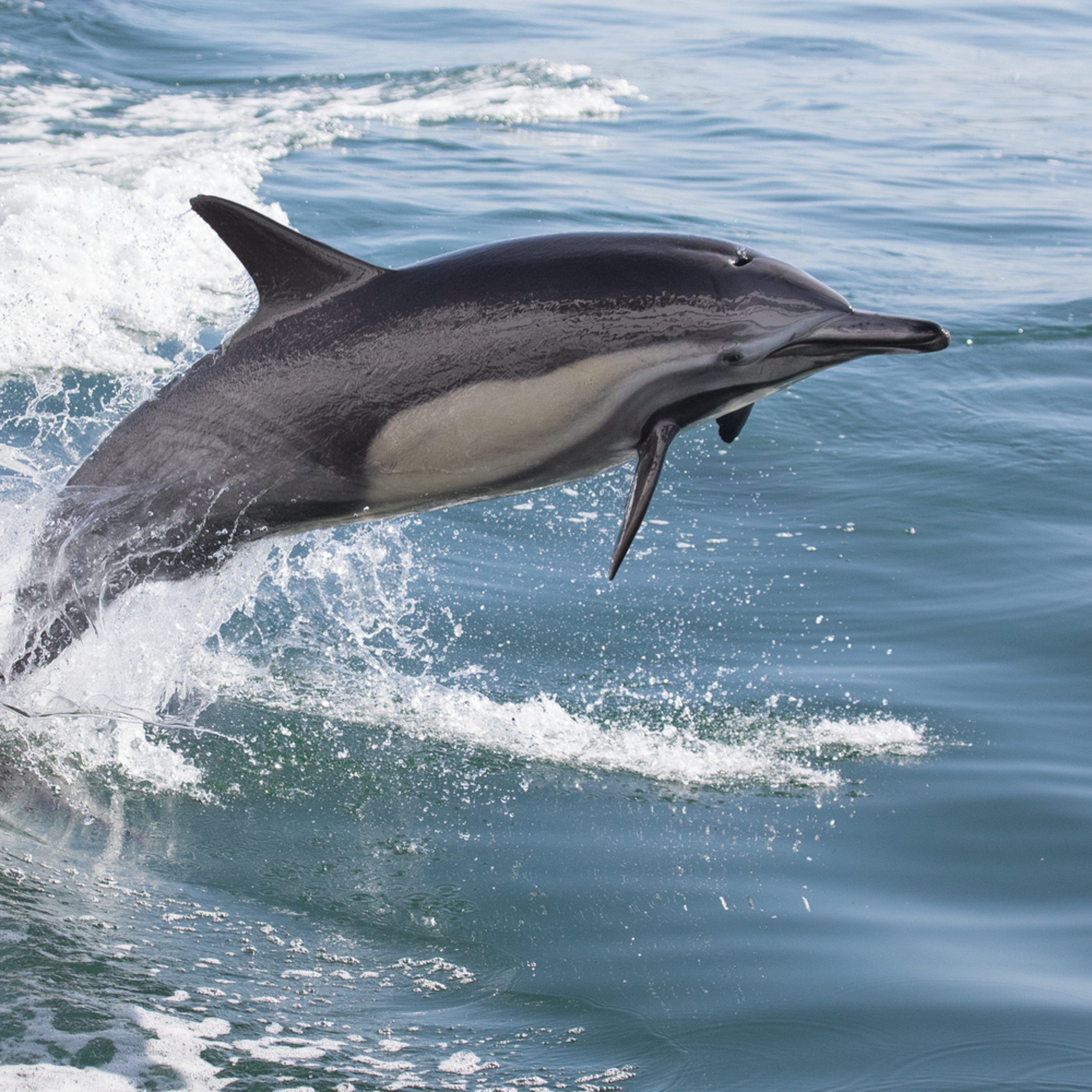 Dolphin leap ascending tmfjsg