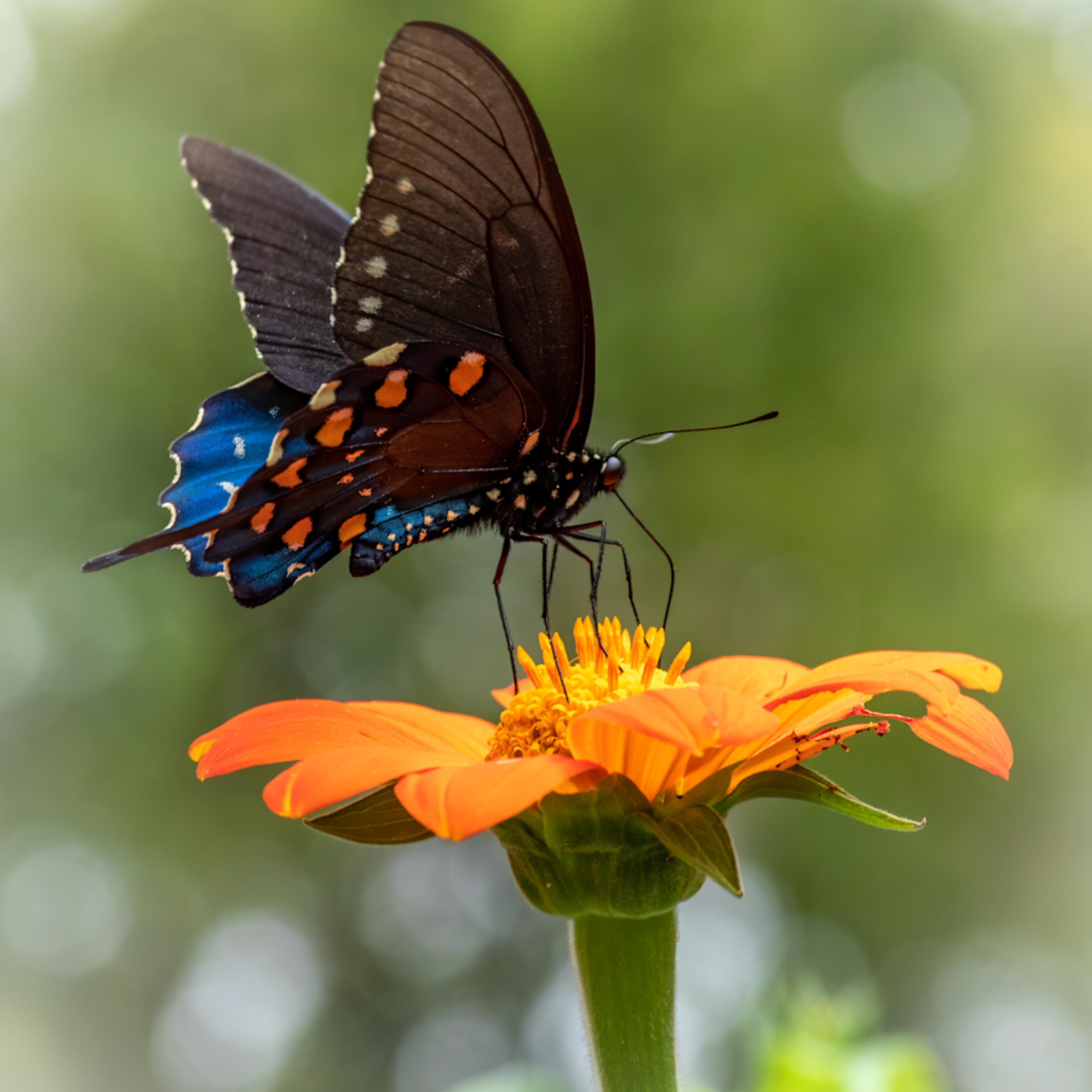 Spicebush swalowtail butterfly ogt1va