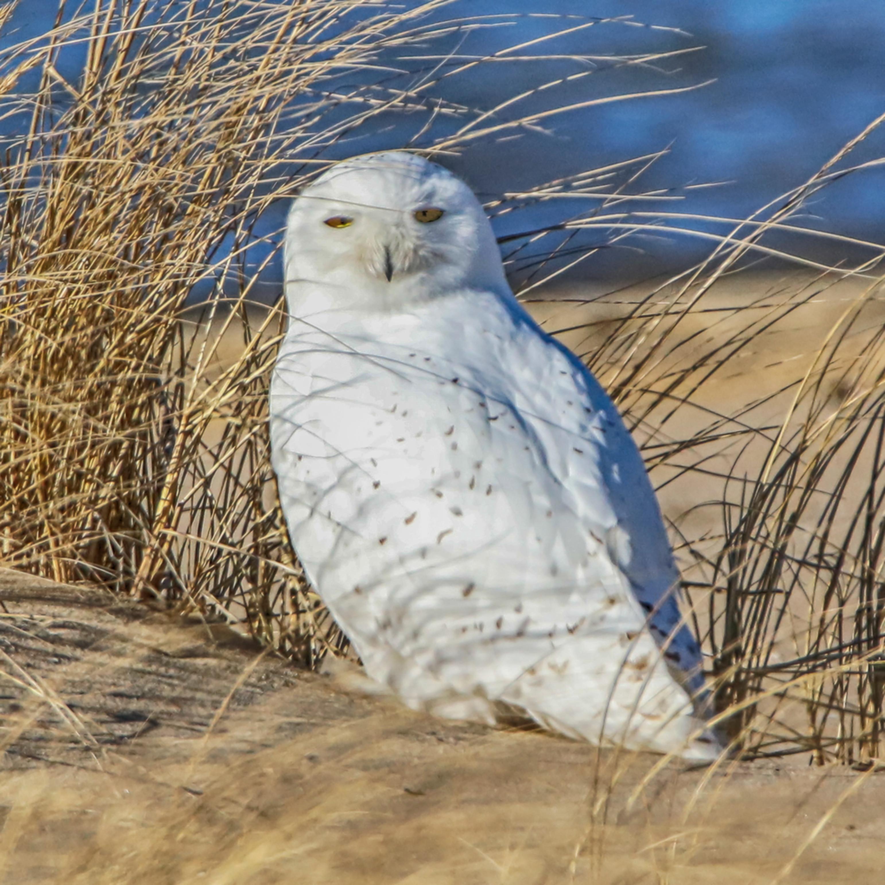 Cape poge snowy owl wpvjc3