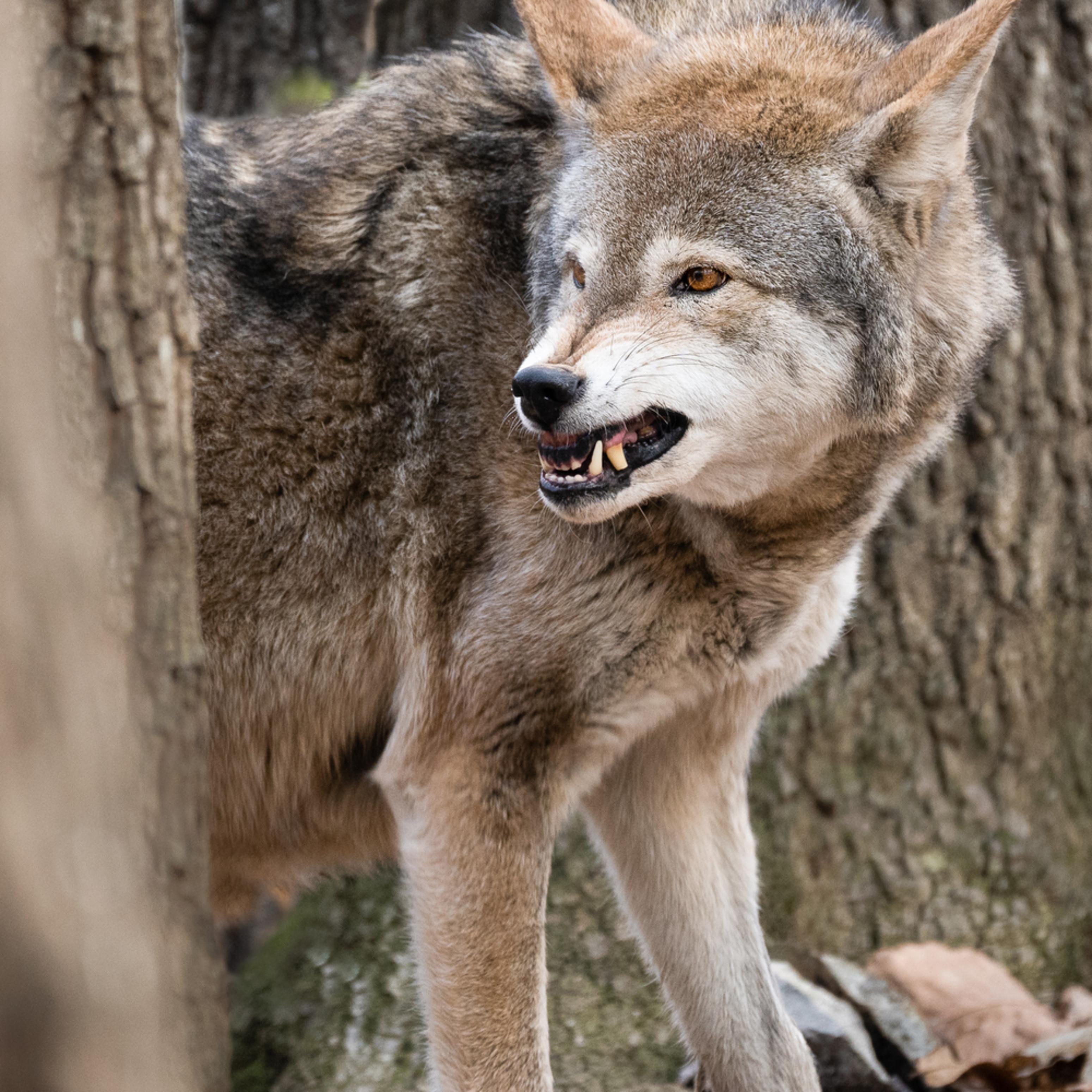 Nc red wolf cuda e8badw