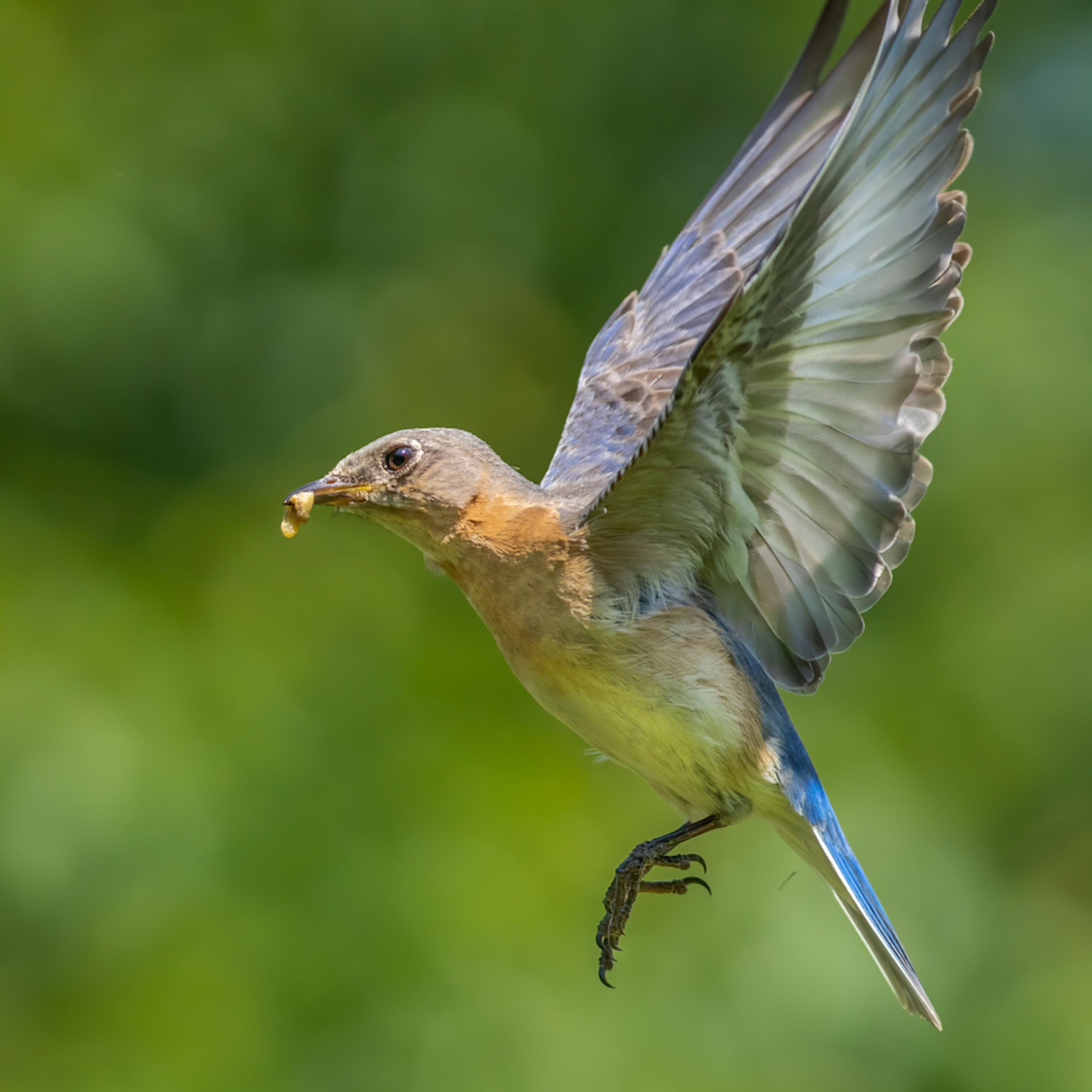 Bluebird flight cudatif vbcf8k