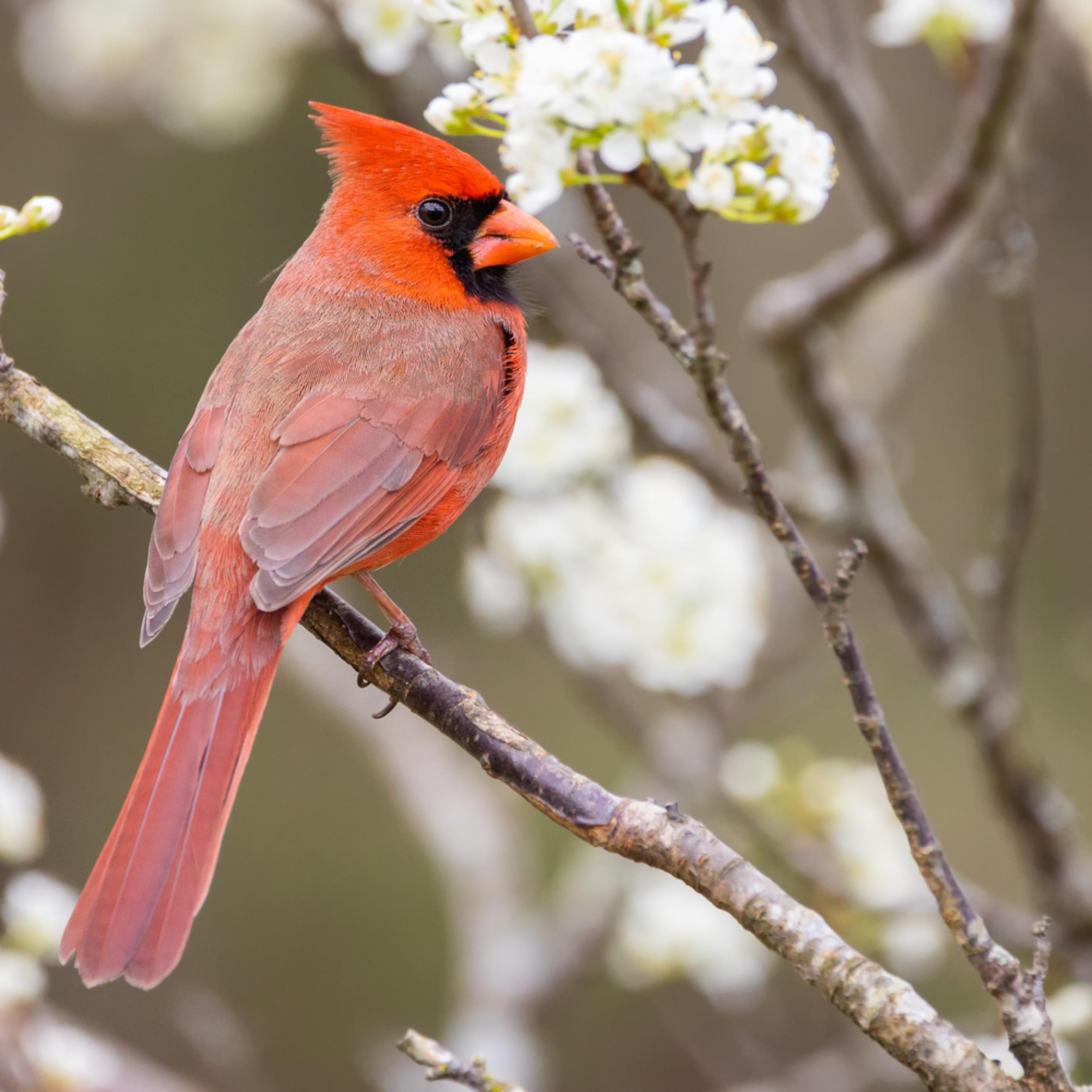 Forsyth county northern cardinal cuda edit tpnlhb