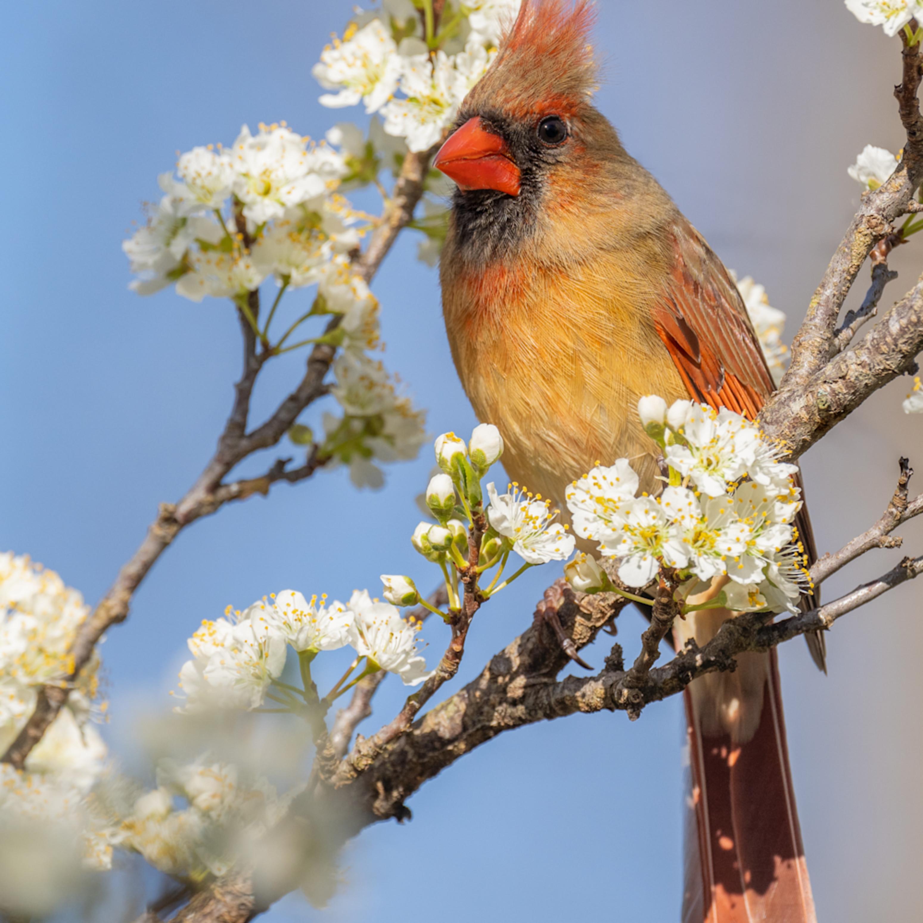 Northern cardinal femalet kvlhoe