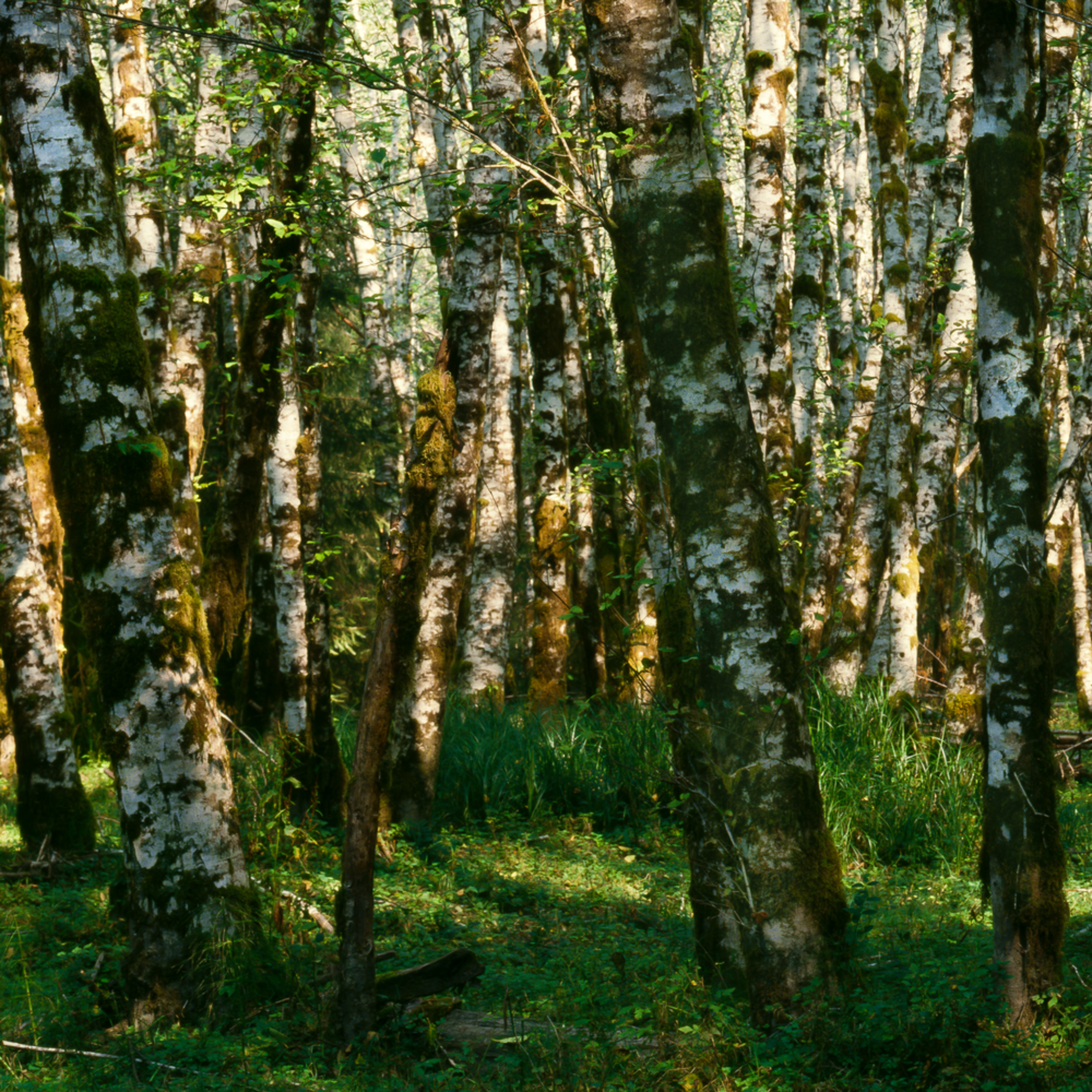 Red alder grove panoramic of8kg9