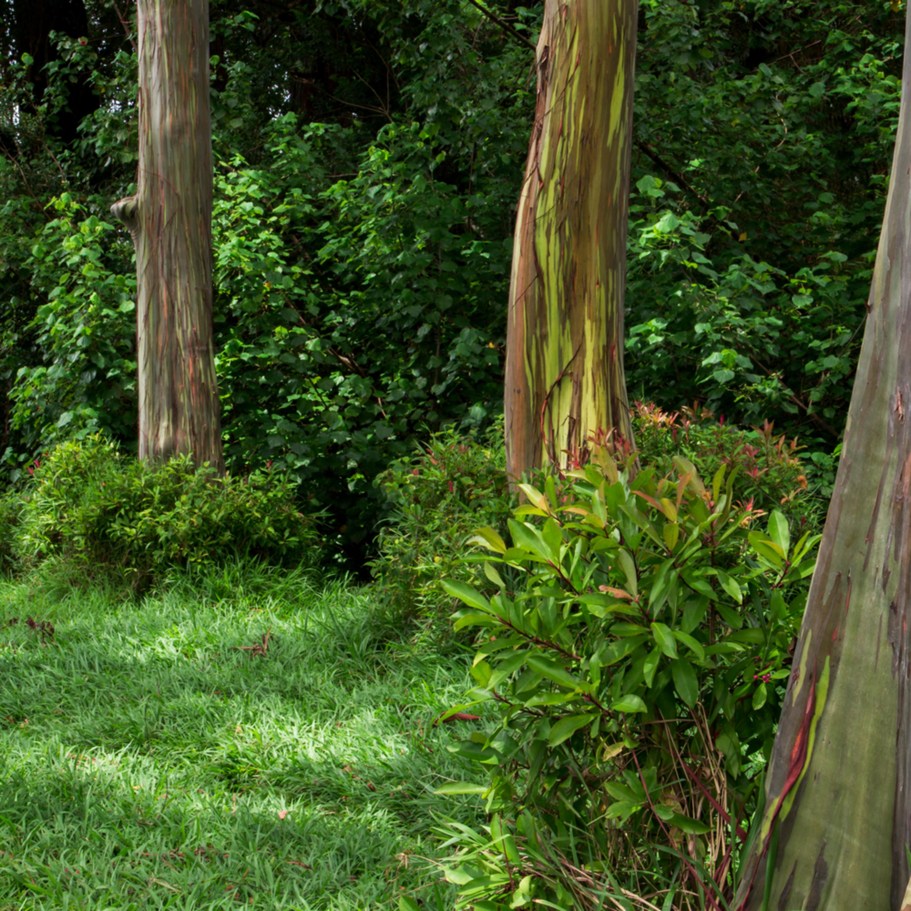 Eucalyptus dream jfmhnp