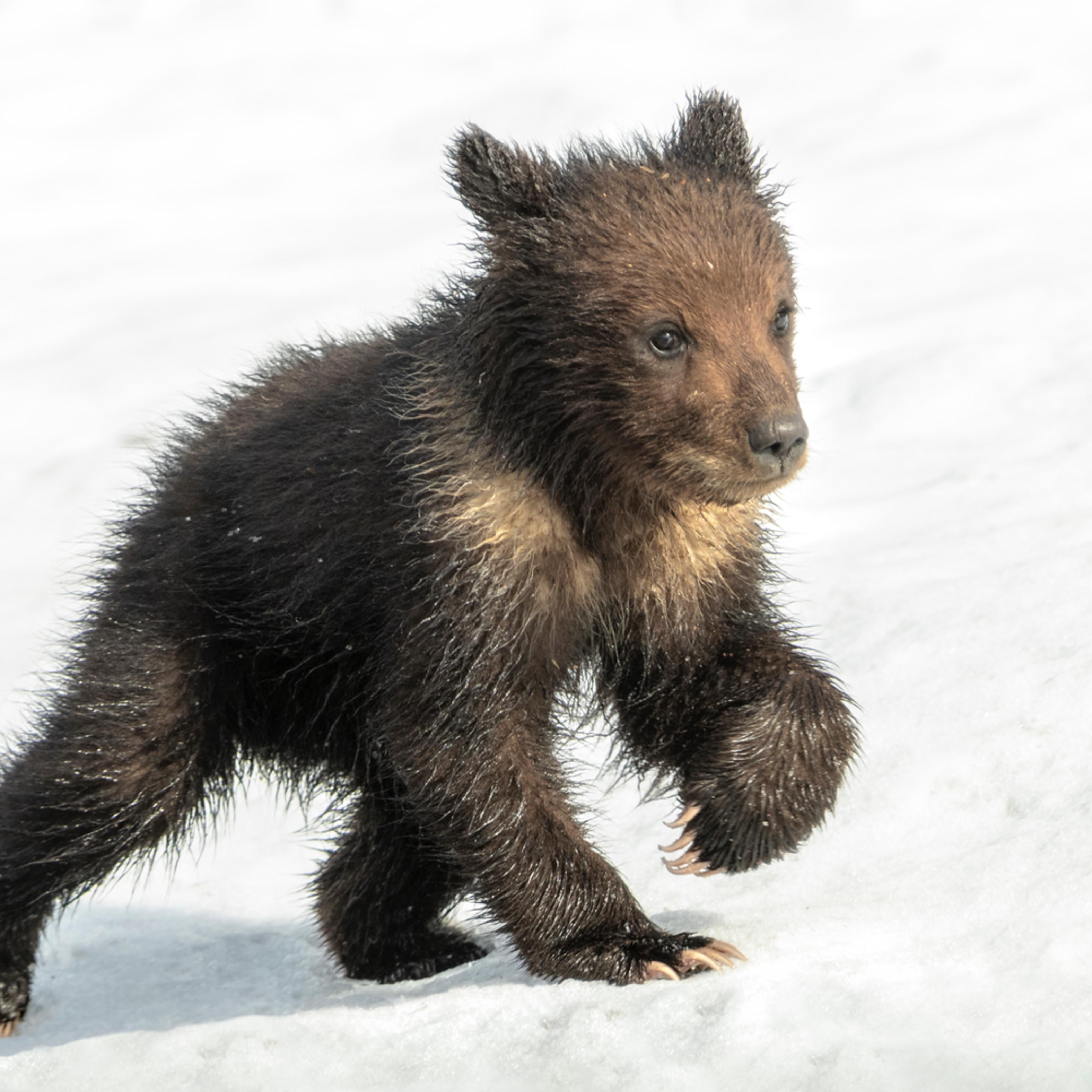 Grizzly cub in snow x2032 1.5 4726 x 3151 j100argb 20190523 1353 g9tj8p