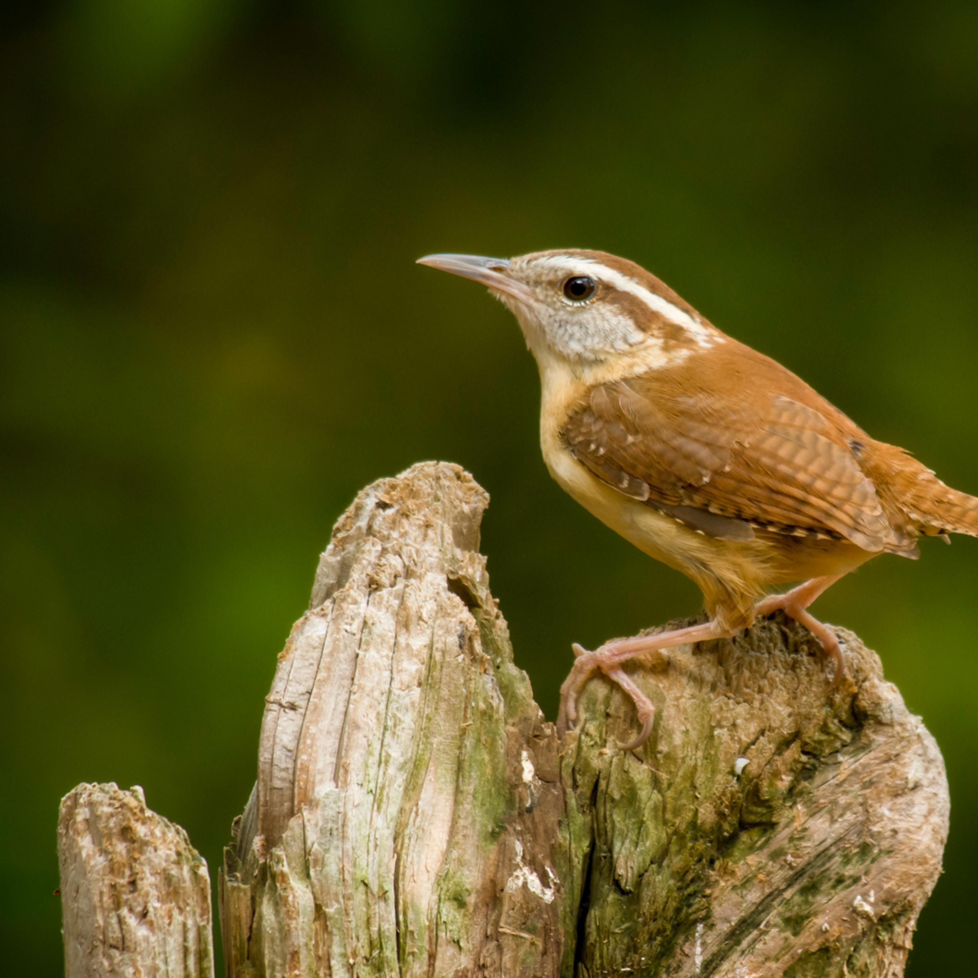 Backyard birds apr 2020 20200412 0681 r84ilx