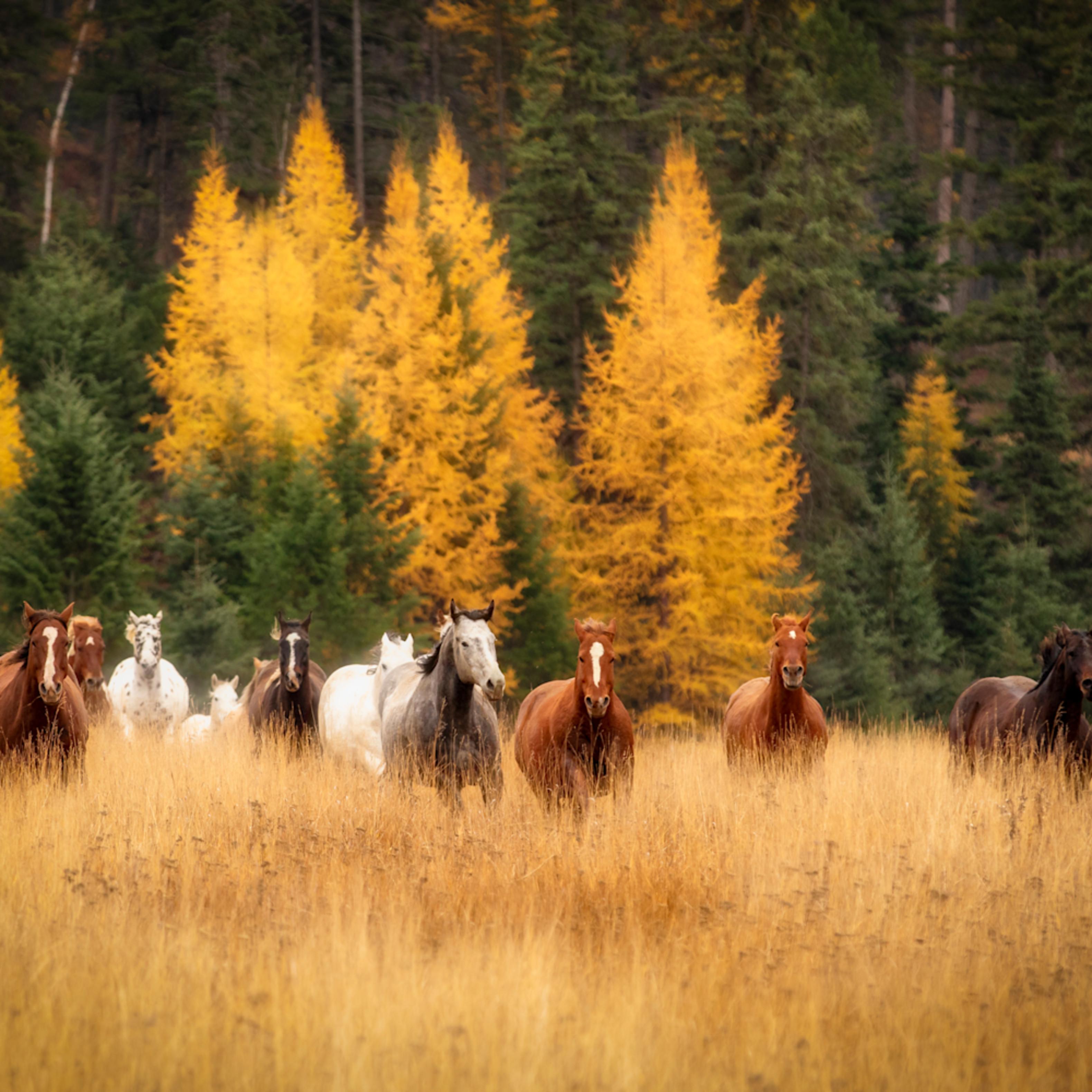 Running herd of horses 1 of 1 jx8ye3