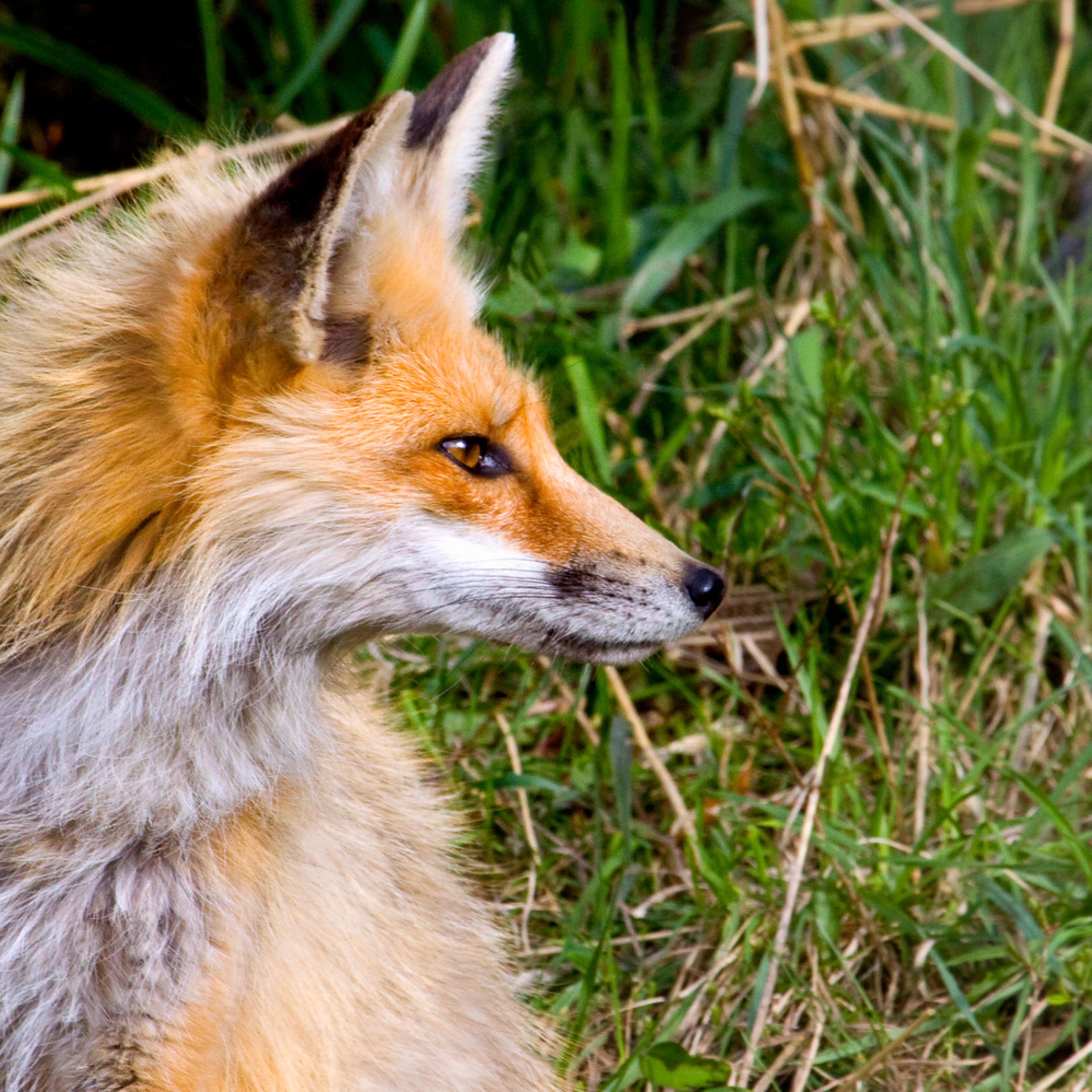 Red fox crp 0787 pzhaca