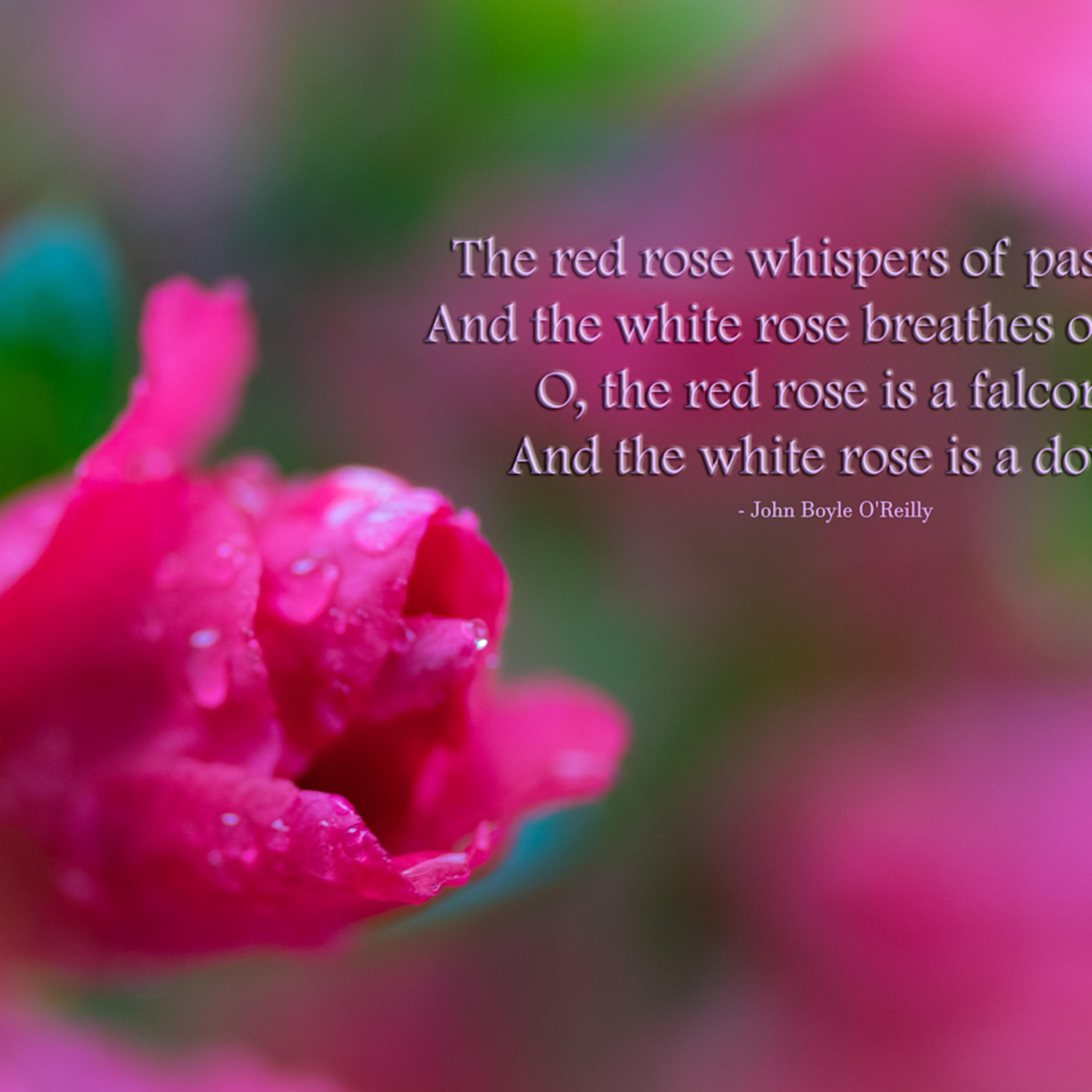 Rose   whispers of passion v6q6q5