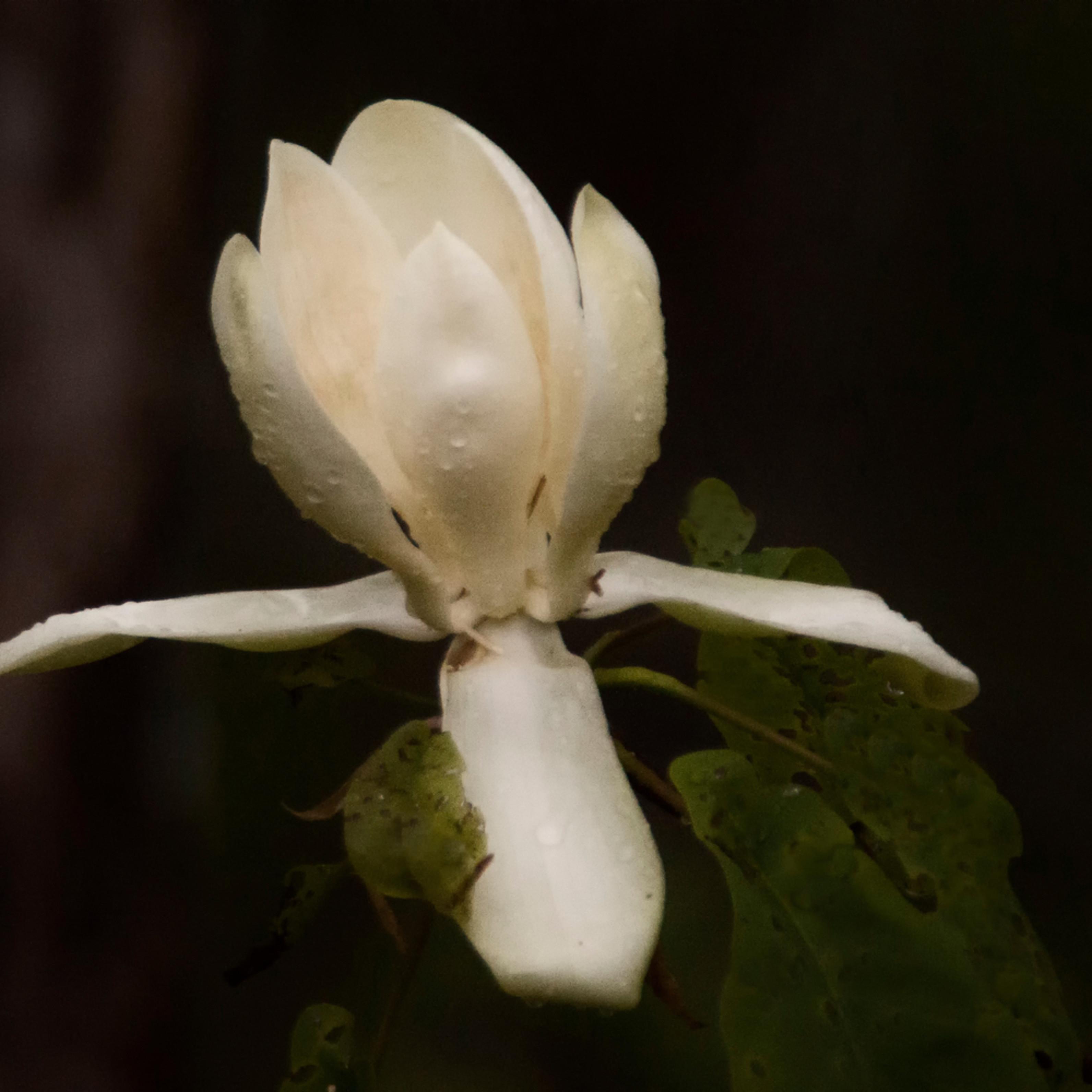 Magnolia1 jkbrca
