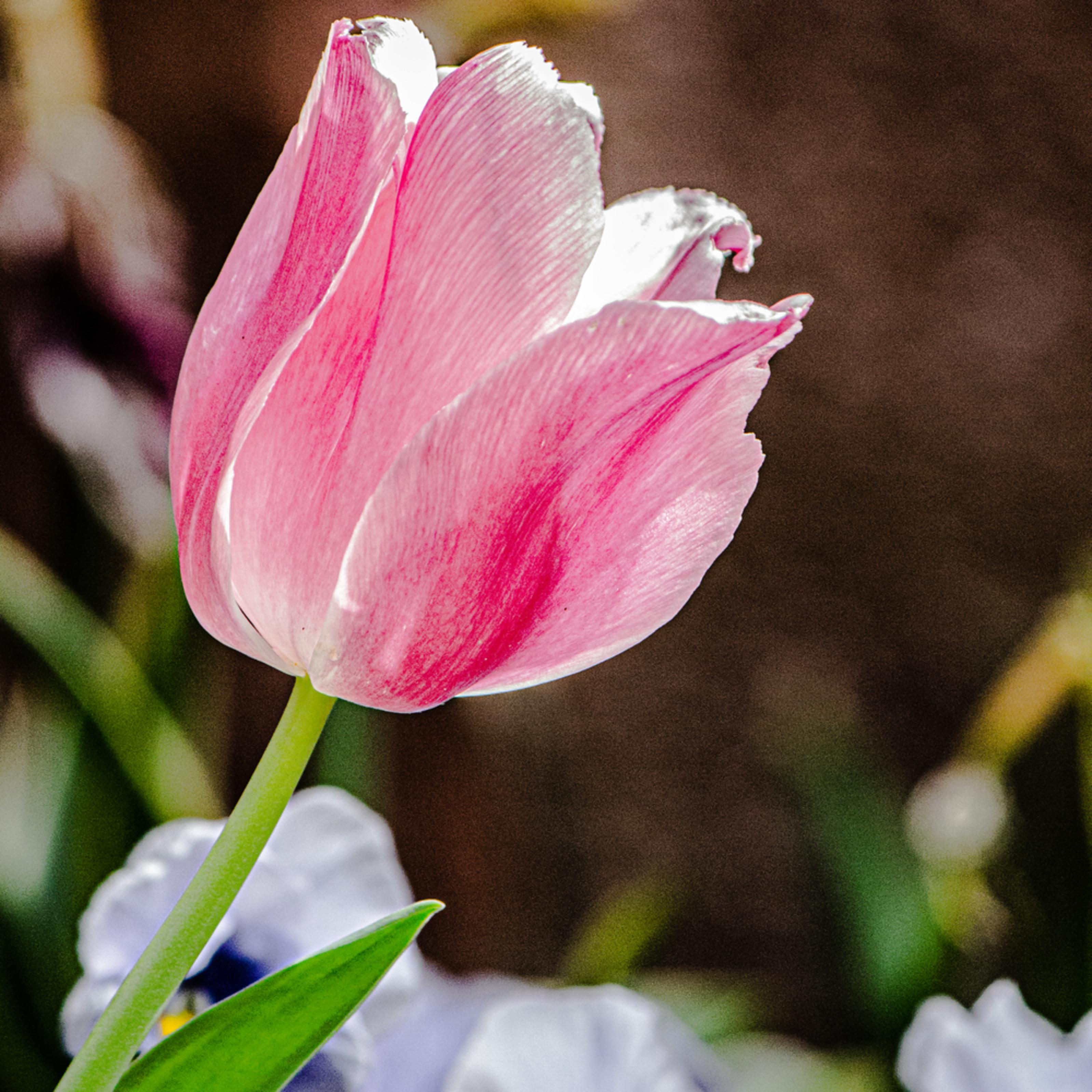5668 tulip sunshine lksxon