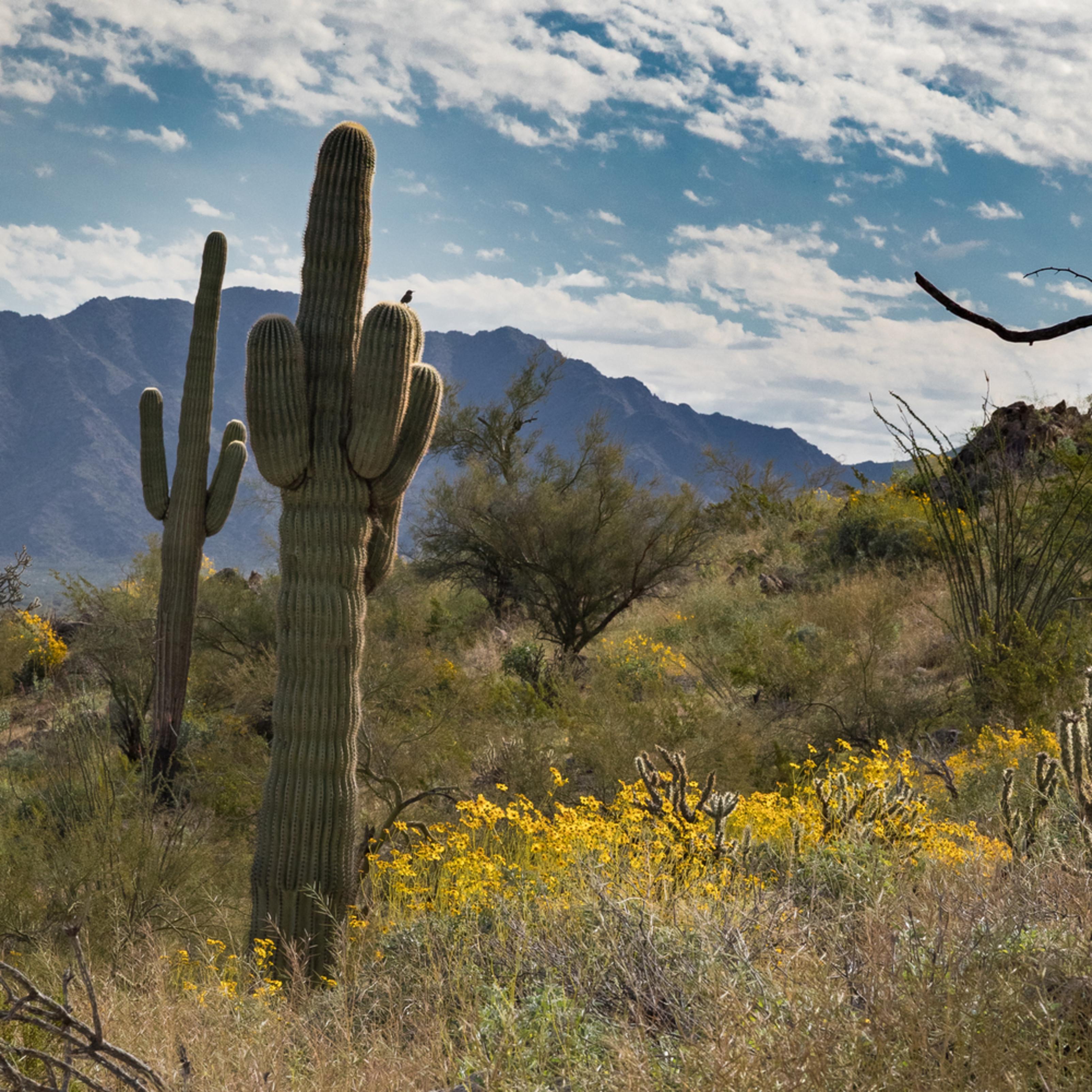 Cactus wren dobdd3