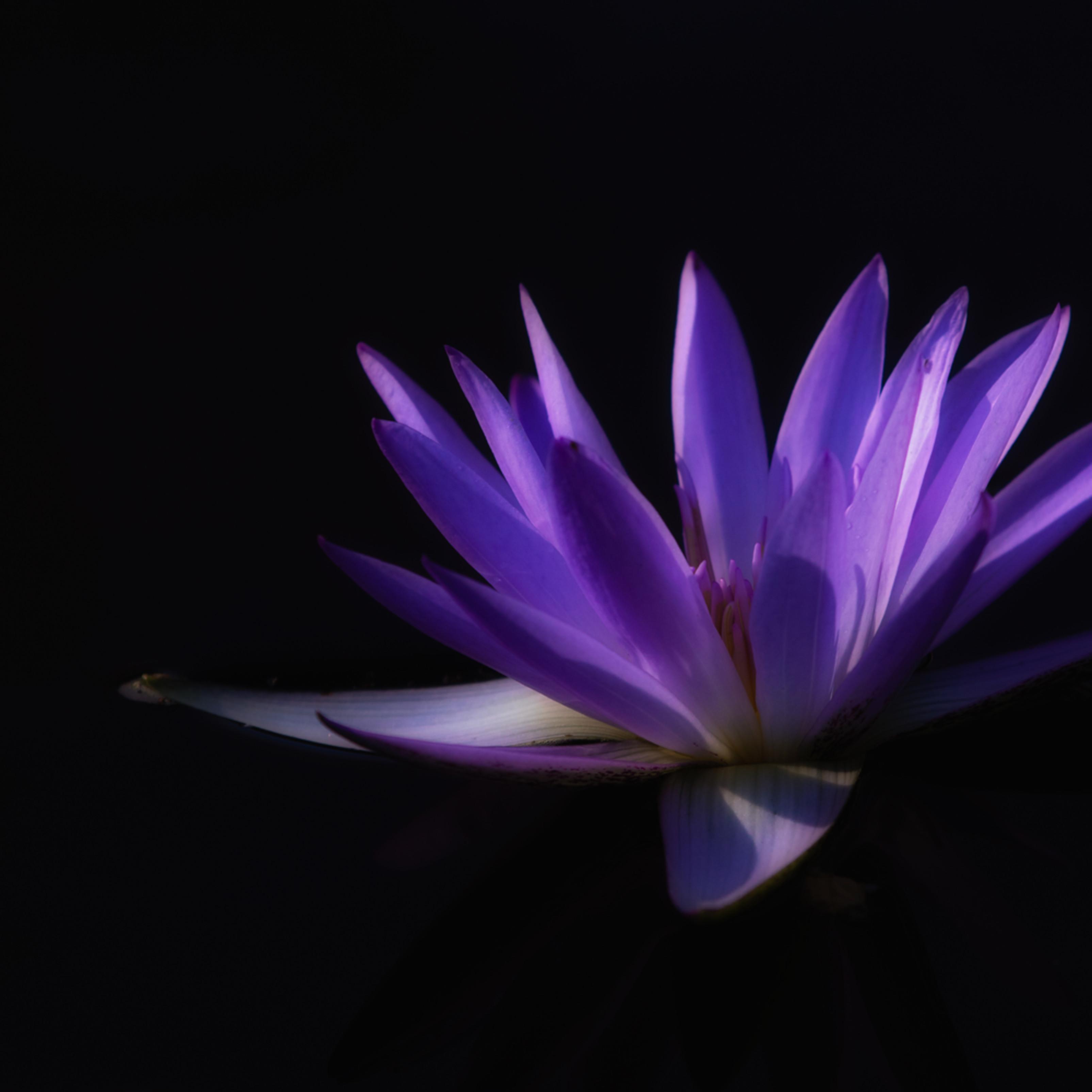 Lavender lily 20151010 092544 mc 018 1 fqy9ru